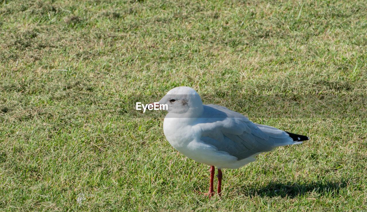 Seagull on field