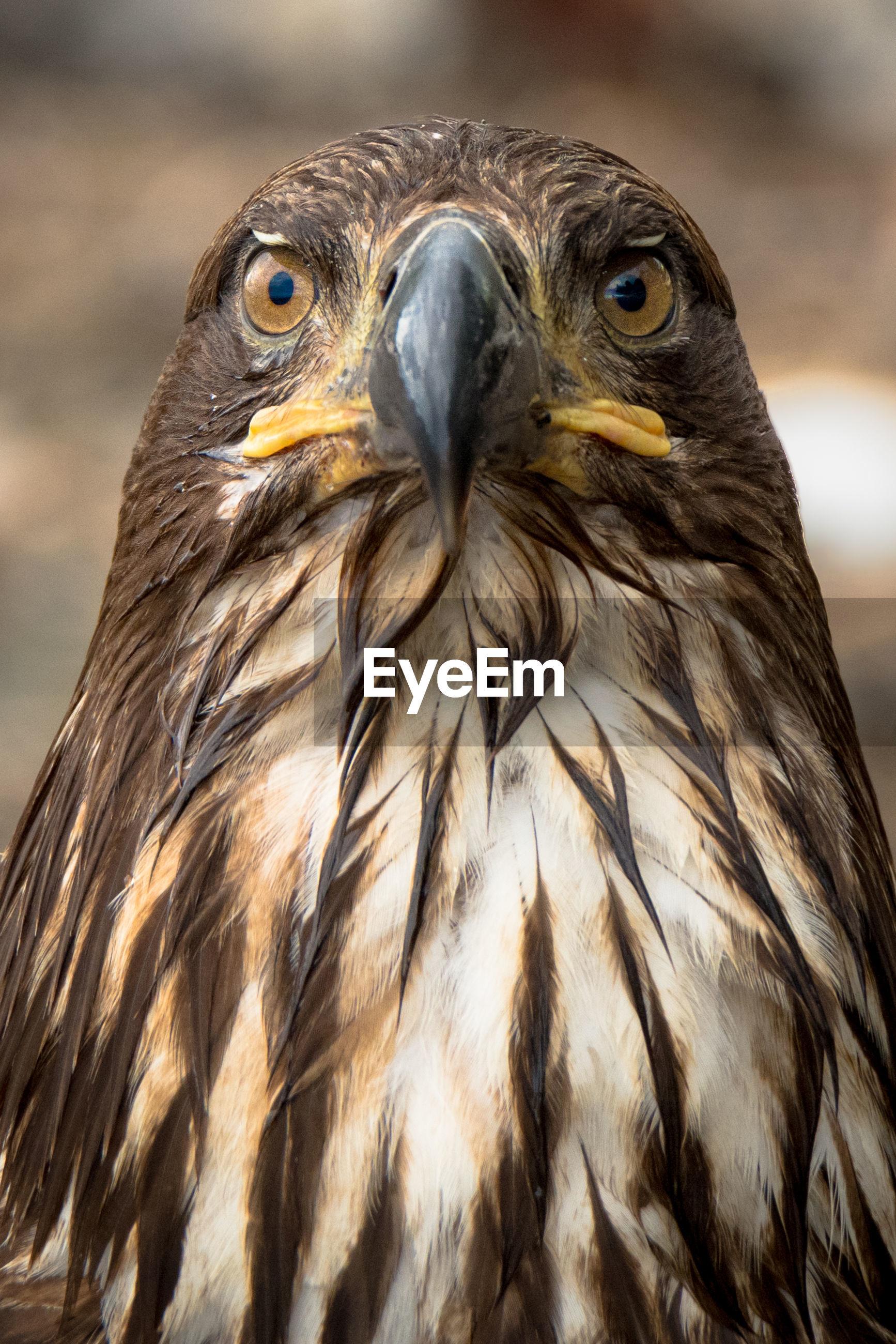 PORTRAIT OF OWL