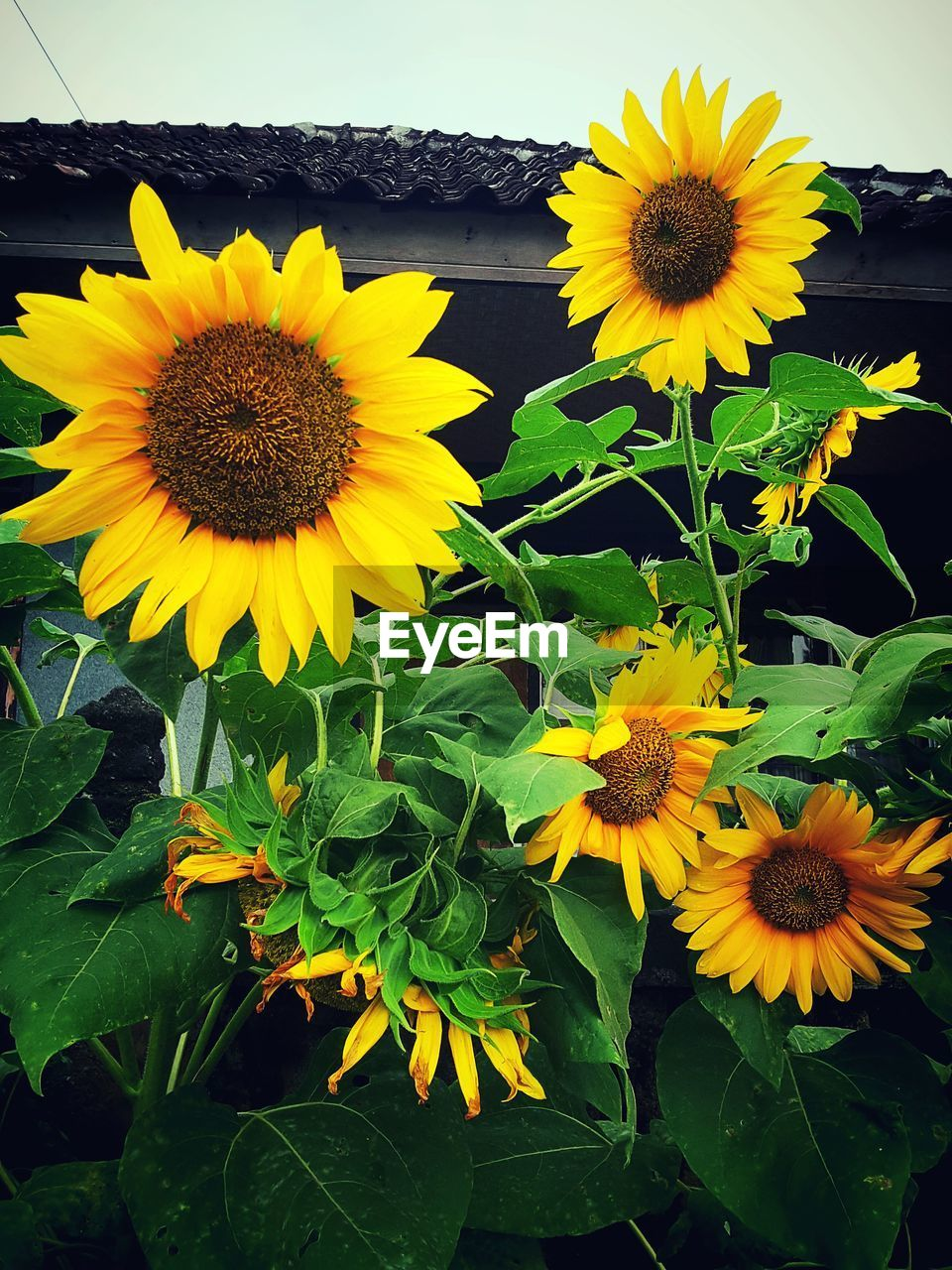 Close-Up Of Potted Sunflowers