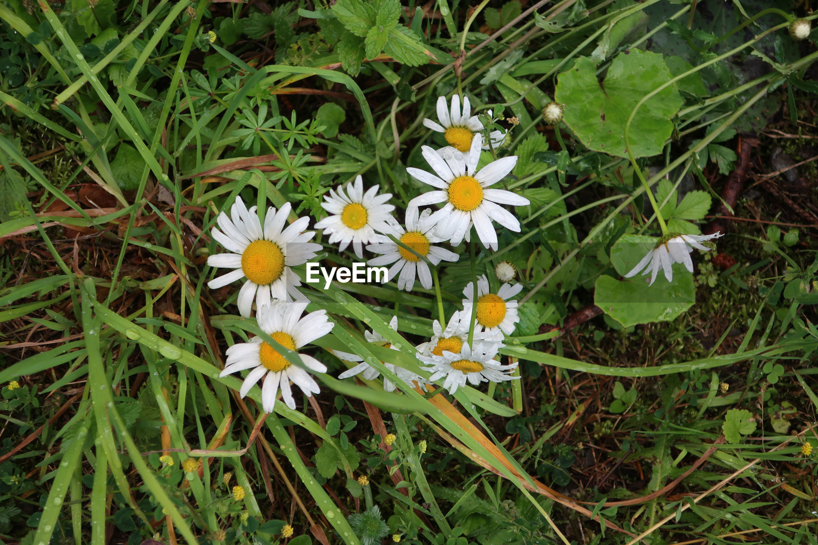 plant, flower, flowering plant, beauty in nature, freshness, growth, fragility, nature, high angle view, petal, wildflower, white, flower head, green, close-up, inflorescence, field, no people, grass, day, land, meadow, plant part, leaf, pollen, outdoors, botany, daisy, yellow, directly above