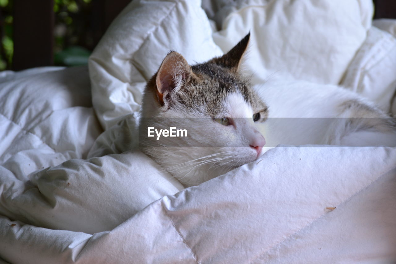pets, cat, domestic, mammal, feline, domestic animals, domestic cat, animal themes, animal, vertebrate, relaxation, one animal, close-up, furniture, no people, bed, resting, white color, indoors, focus on foreground, whisker, animal head