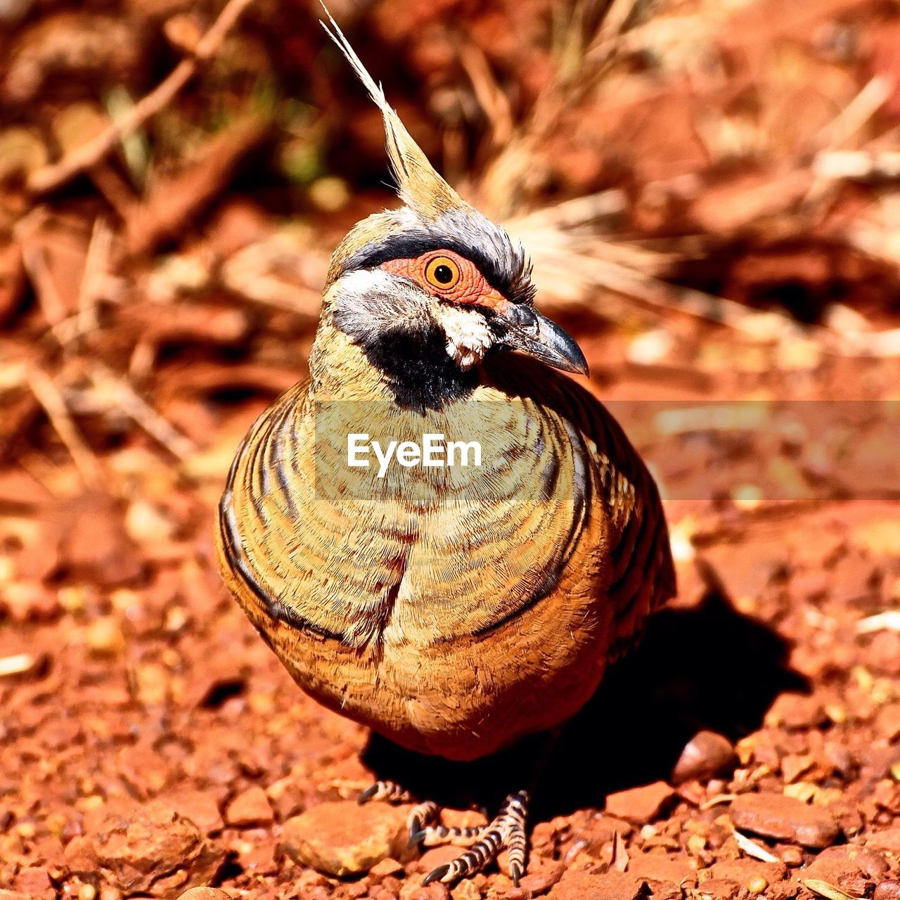 Close-Up Portrait Of Spinifex Pigeon On Ground