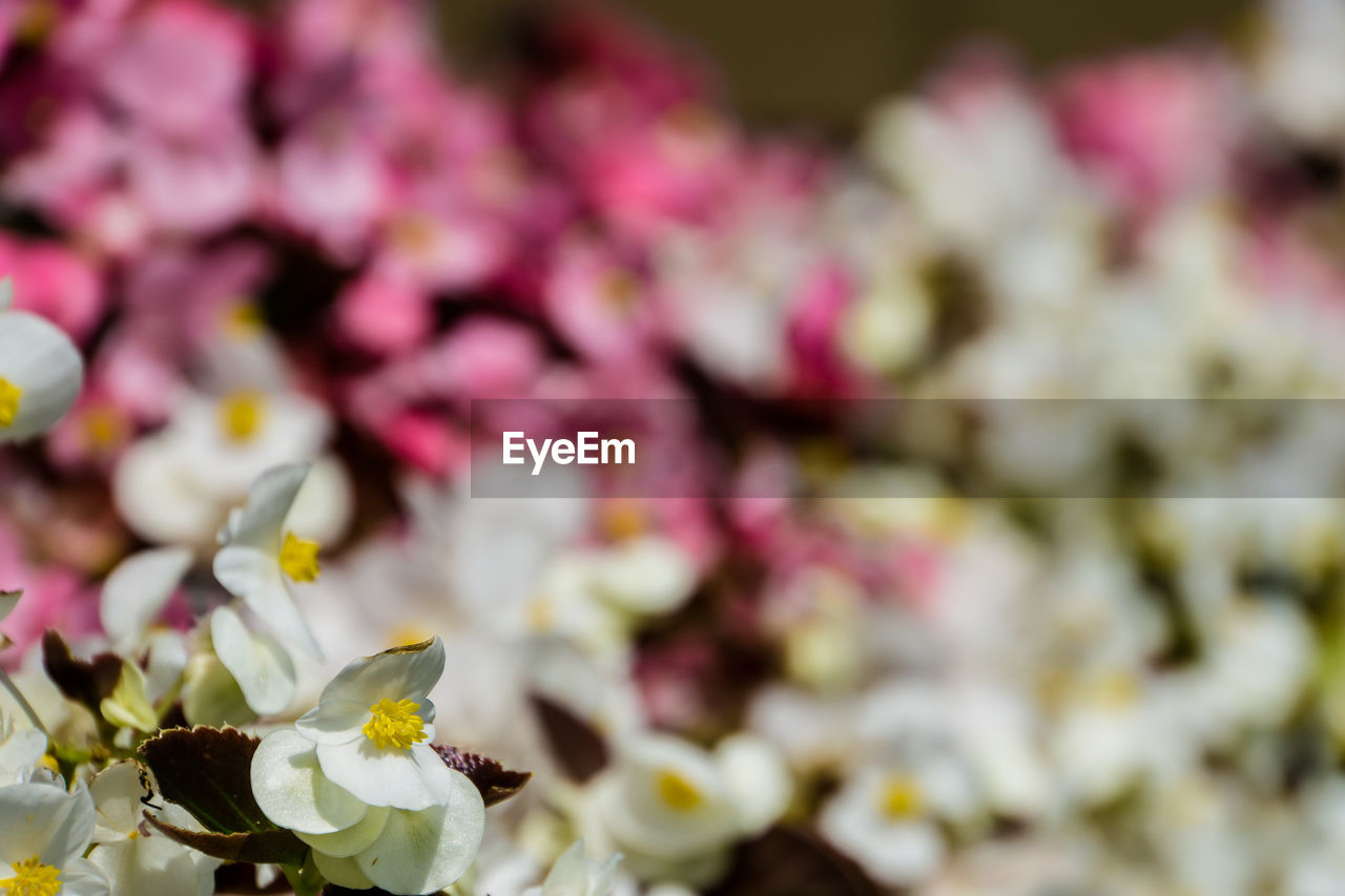 flower, fragility, petal, freshness, beauty in nature, blossom, springtime, nature, no people, close-up, selective focus, growth, flower head, pink color, tree, branch, full frame, day, backgrounds, blooming, outdoors