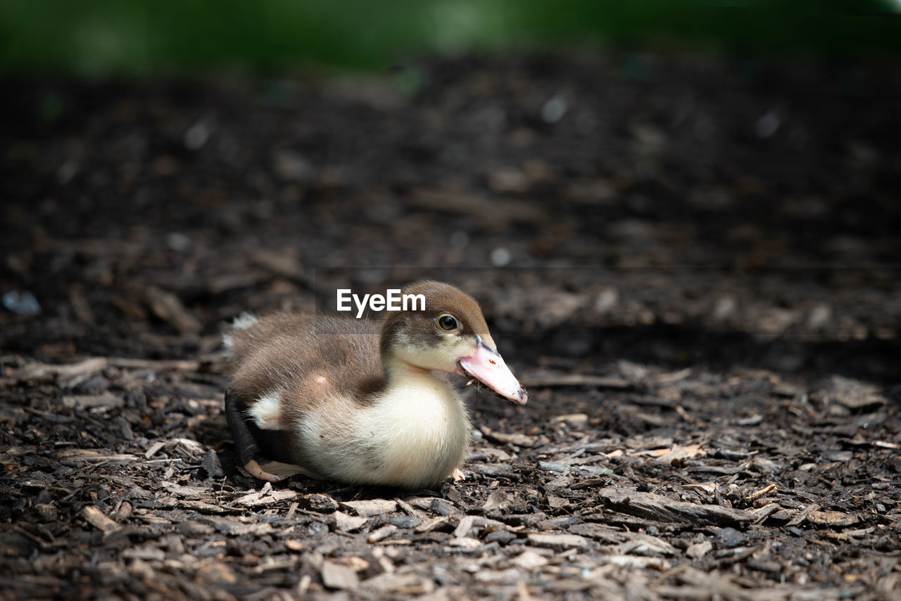 bird, animal themes, animal, vertebrate, young bird, young animal, animals in the wild, animal wildlife, no people, field, nature, land, one animal, day, close-up, poultry, duck, focus on foreground, outdoors, selective focus, mud, gosling