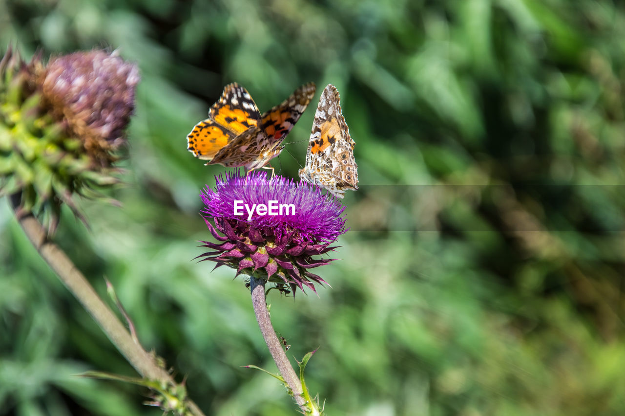 flowering plant, flower, animal themes, animal, insect, beauty in nature, plant, invertebrate, animal wildlife, animals in the wild, one animal, fragility, vulnerability, petal, growth, freshness, flower head, close-up, butterfly - insect, purple, animal wing, pollination, no people, outdoors, butterfly
