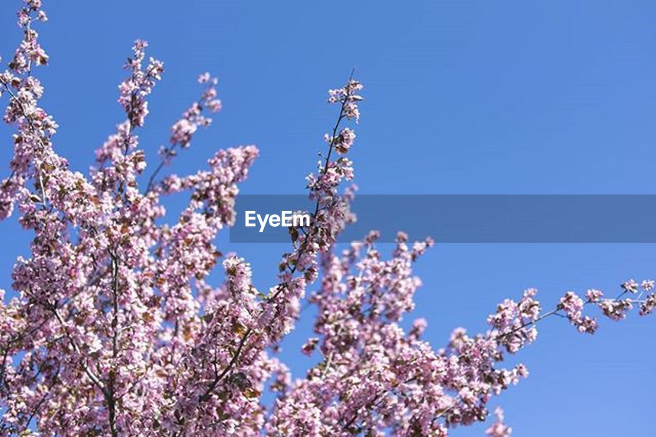 LOW ANGLE VIEW OF PINK FLOWERS BLOOMING ON TREE AGAINST BLUE SKY