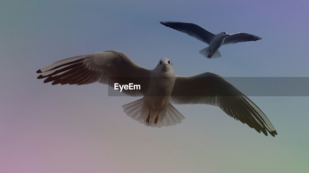 flying, spread wings, animal themes, bird, animals in the wild, mid-air, low angle view, nature, motion, clear sky, no people, animal wildlife, seagull, outdoors, day, beauty in nature, sky