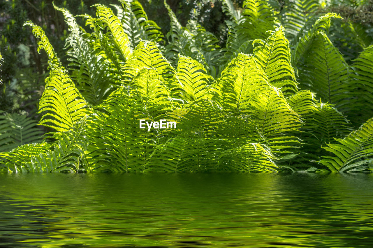 green color, plant, beauty in nature, growth, leaf, tree, nature, water, tranquility, plant part, day, no people, fern, outdoors, freshness, reflection, backgrounds, lush foliage, lake, leaves