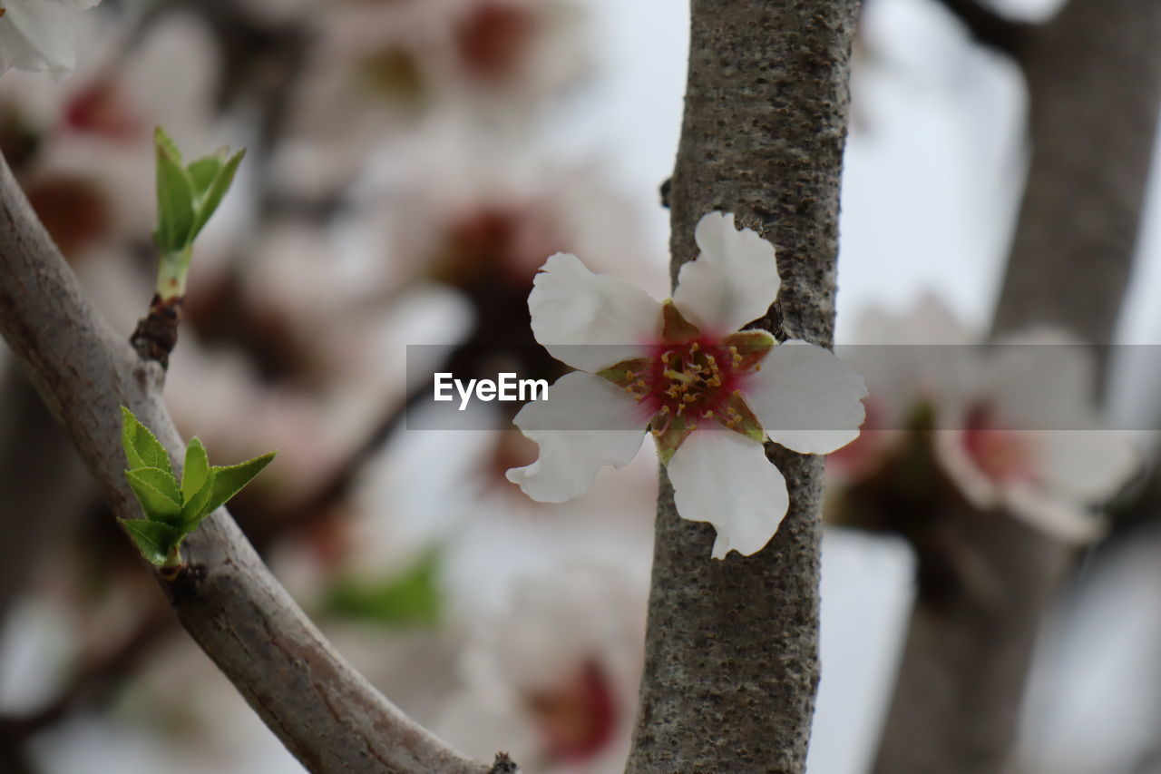 plant, growth, tree, flower, beauty in nature, close-up, fragility, flowering plant, vulnerability, selective focus, focus on foreground, freshness, branch, no people, day, tree trunk, nature, trunk, outdoors, white color, flower head, cherry blossom