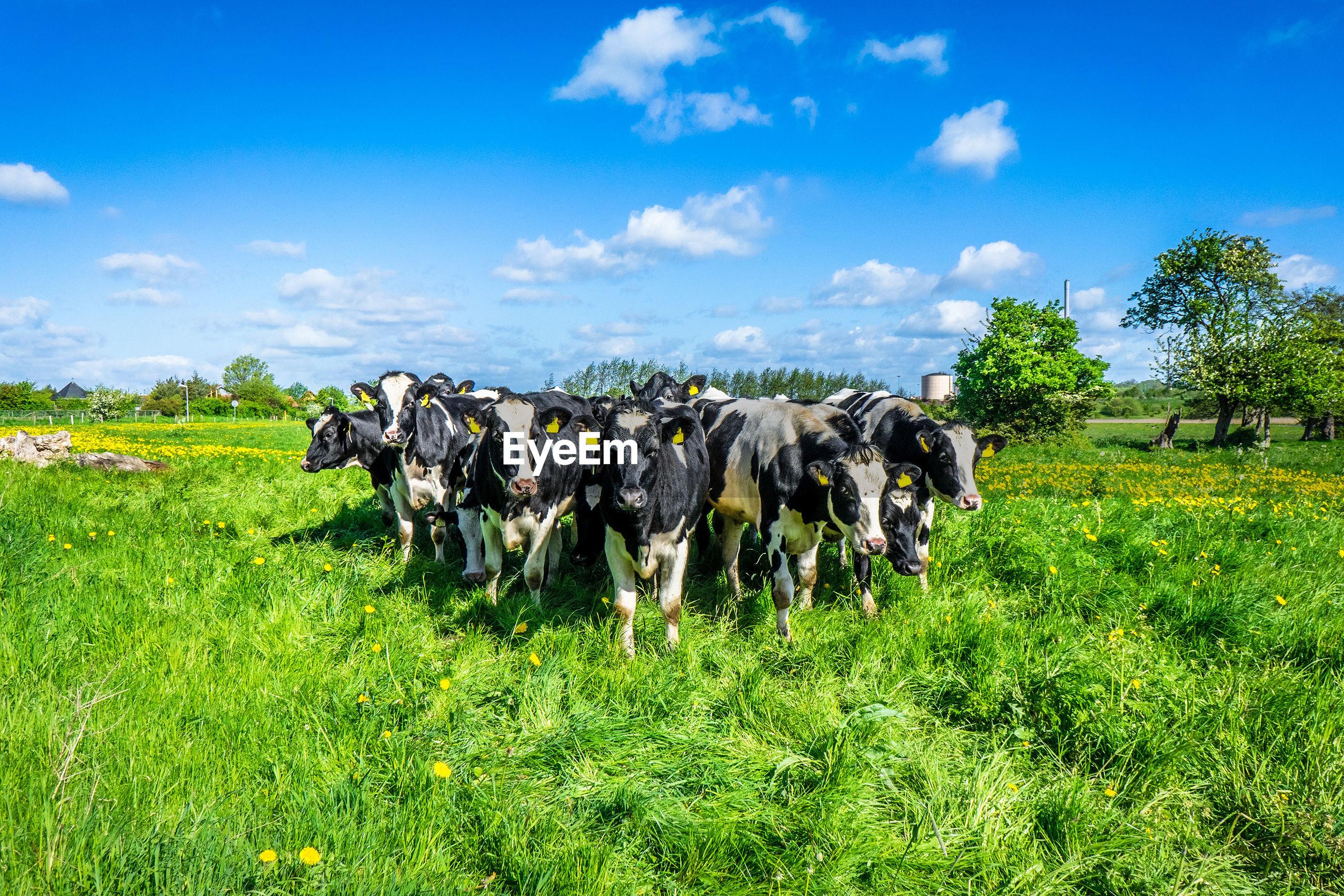 Herd of cows on grassy field against sky