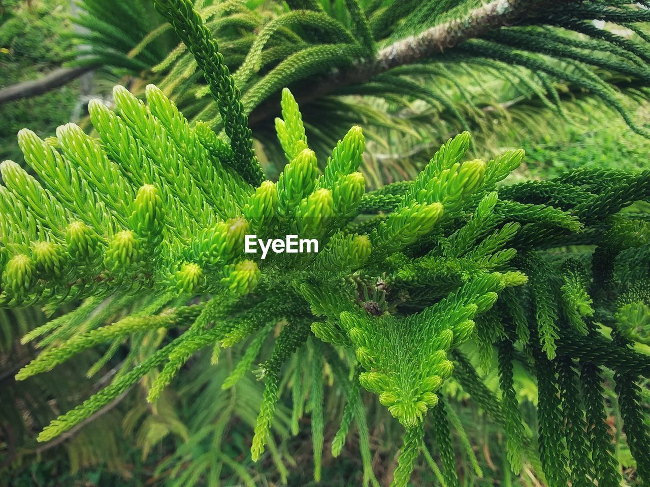 green color, growth, plant, close-up, leaf, plant part, day, nature, no people, beauty in nature, outdoors, freshness, focus on foreground, tranquility, tree, pine tree, herb, coniferous tree, branch, needle - plant part, fir tree