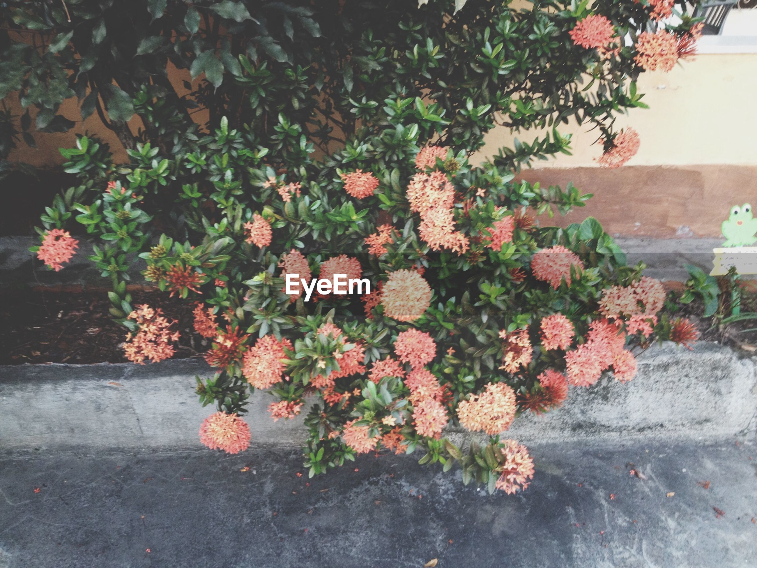flower, plant, growth, freshness, fragility, potted plant, petal, leaf, nature, blooming, beauty in nature, in bloom, high angle view, wall - building feature, blossom, front or back yard, flower head, growing, no people, flower pot