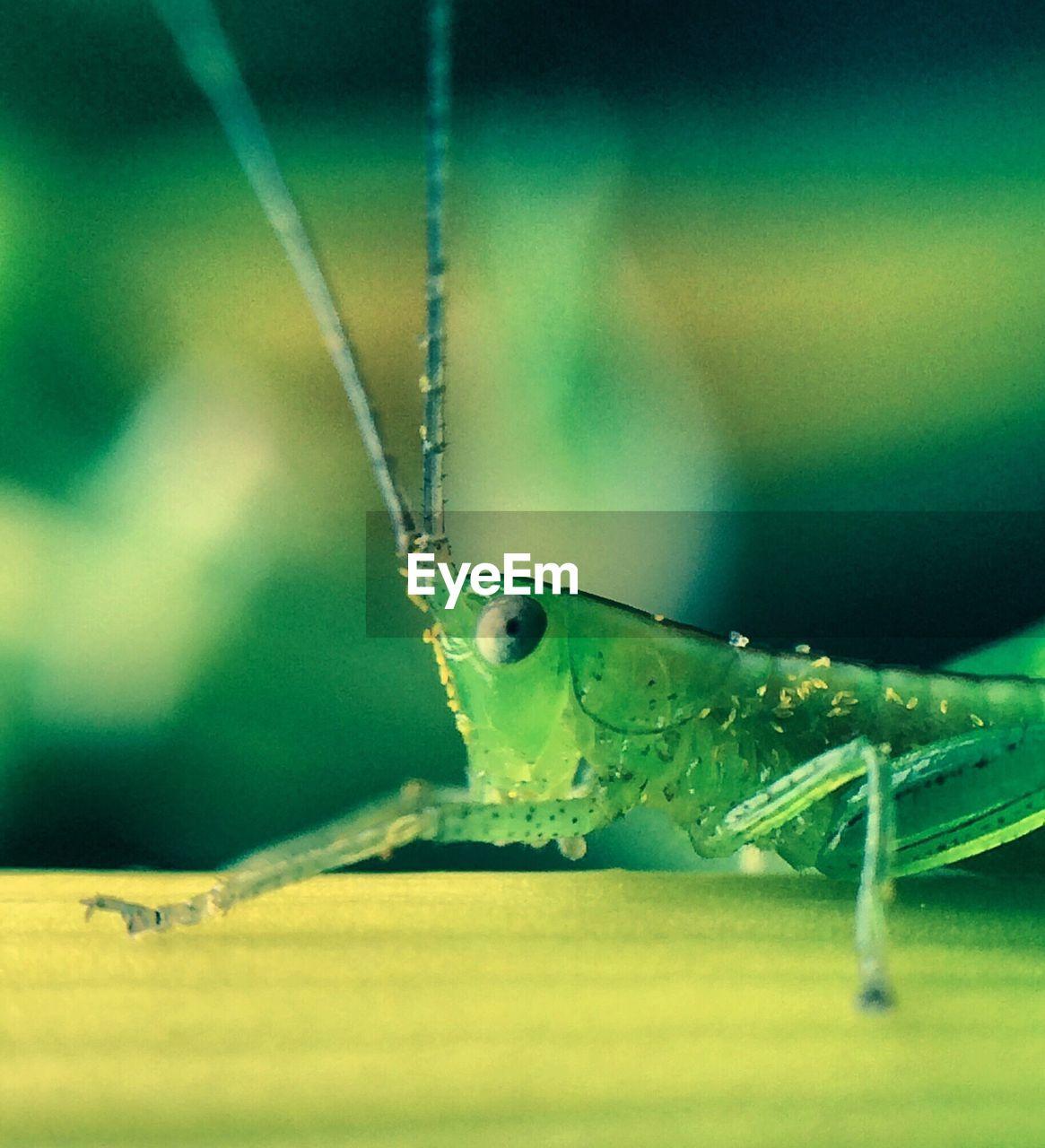 Macro Shot Of Grasshopper On Stem