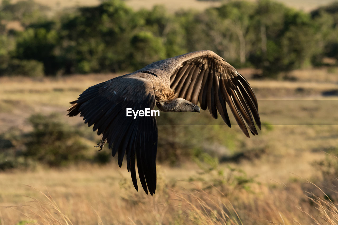 animal wildlife, animal themes, animals in the wild, animal, flying, bird, vertebrate, spread wings, one animal, field, mid-air, bird of prey, nature, no people, plant, day, land, focus on foreground, outdoors, motion, eagle