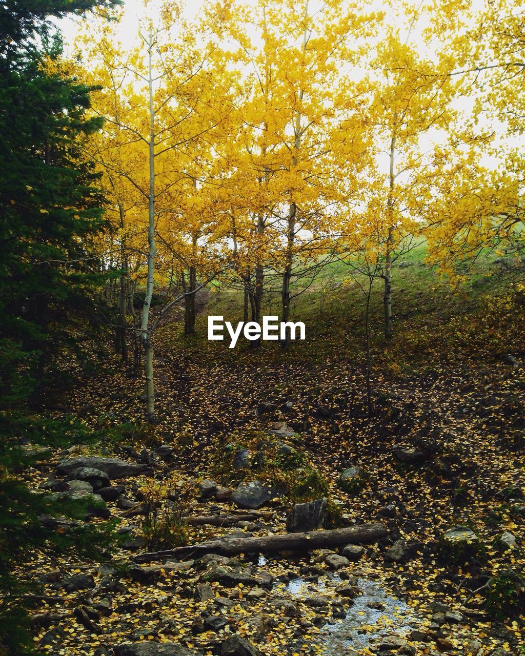 autumn, forest, nature, tree, tranquility, tranquil scene, scenics, change, beauty in nature, leaf, landscape, non-urban scene, outdoors, yellow, no people, day, travel destinations, growth, water, sky