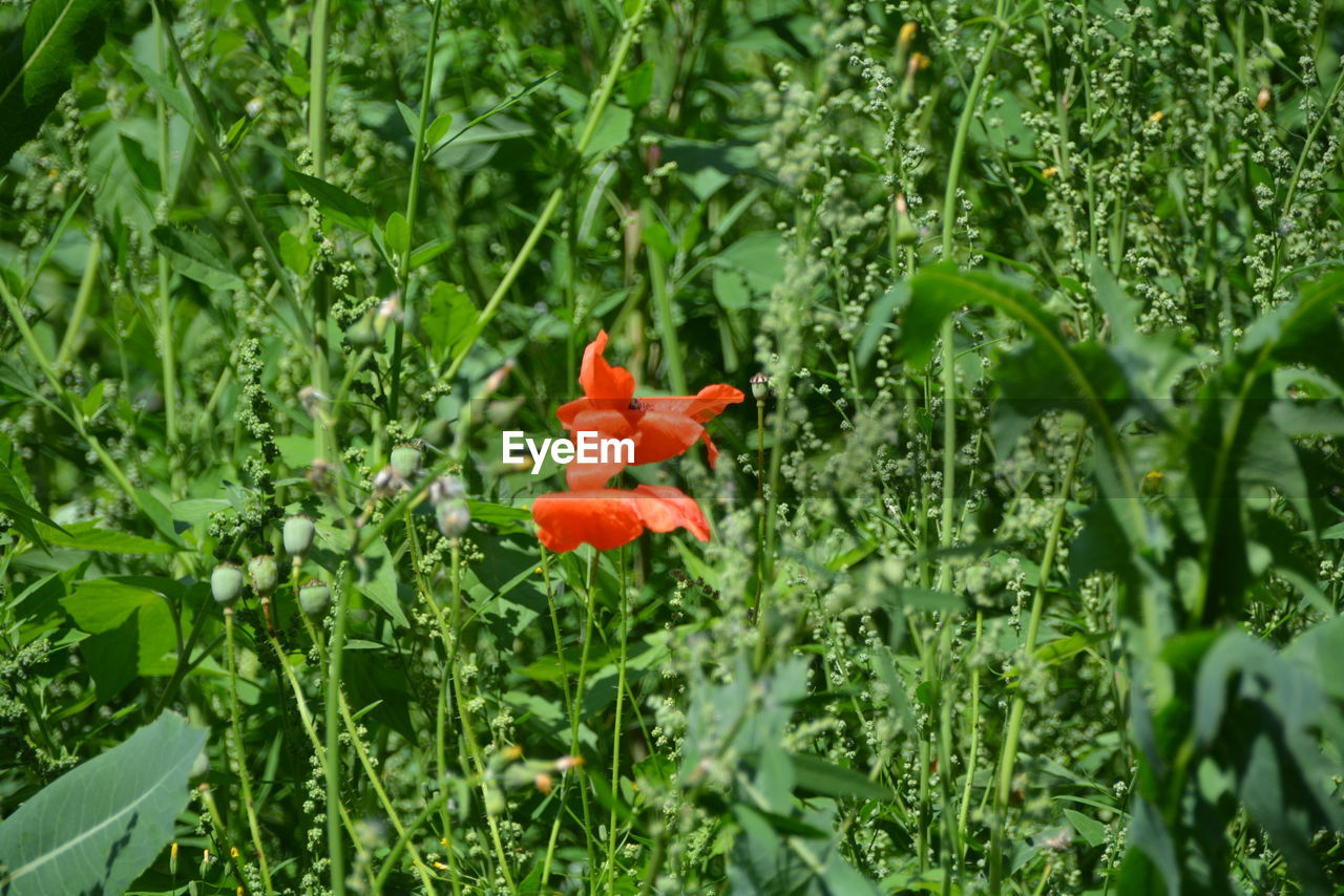 plant, growth, green color, flowering plant, flower, beauty in nature, freshness, fragility, vulnerability, petal, land, red, field, no people, nature, flower head, inflorescence, close-up, day, selective focus, outdoors