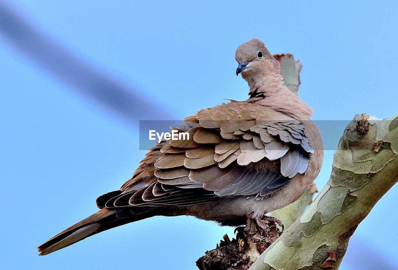 vertebrate, bird, animals in the wild, animal wildlife, animal, animal themes, sky, one animal, low angle view, clear sky, no people, perching, nature, day, tree, blue, close-up, outdoors, beak, sparrow