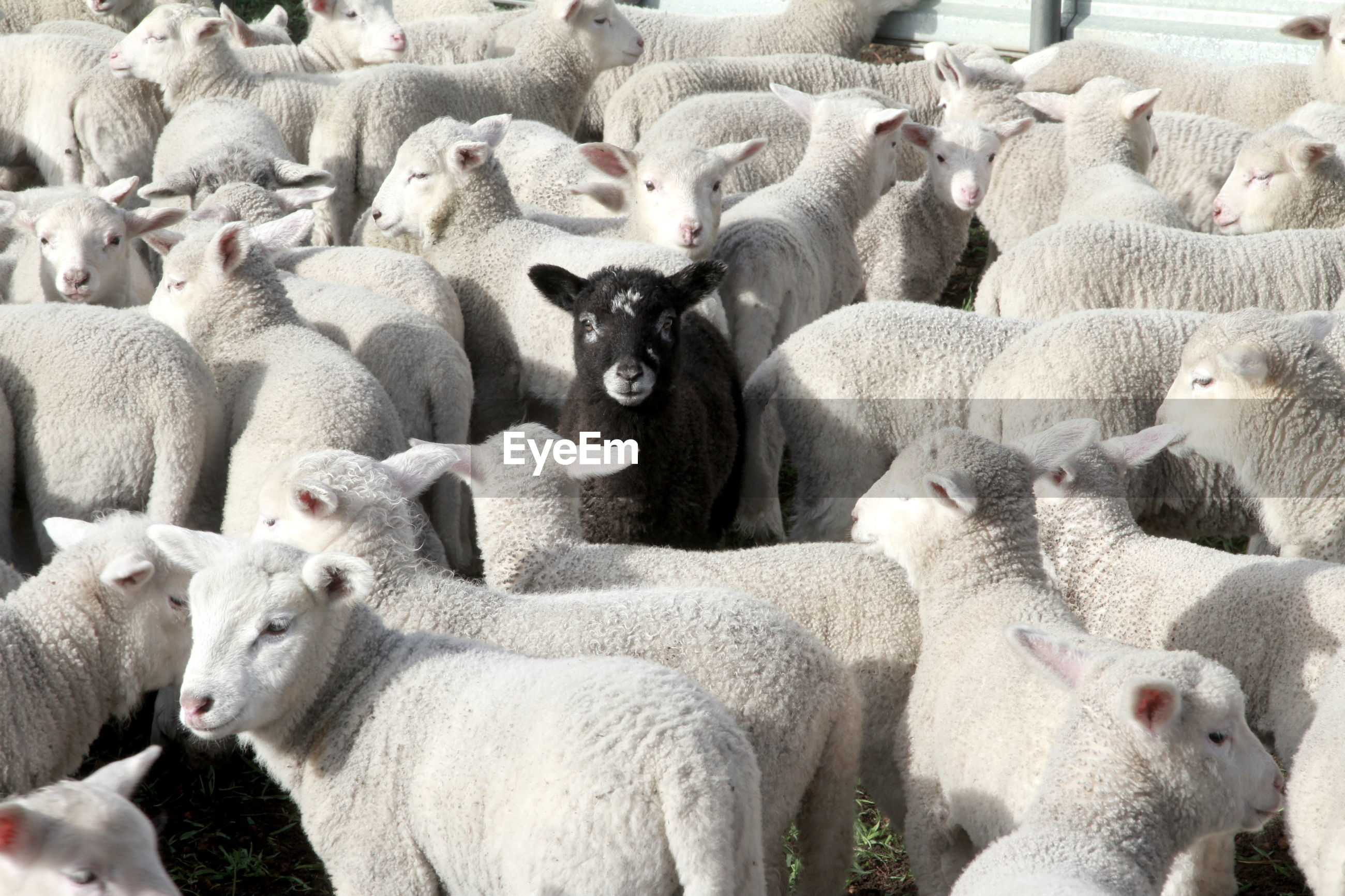 Full frame shot of sheep standing at farm