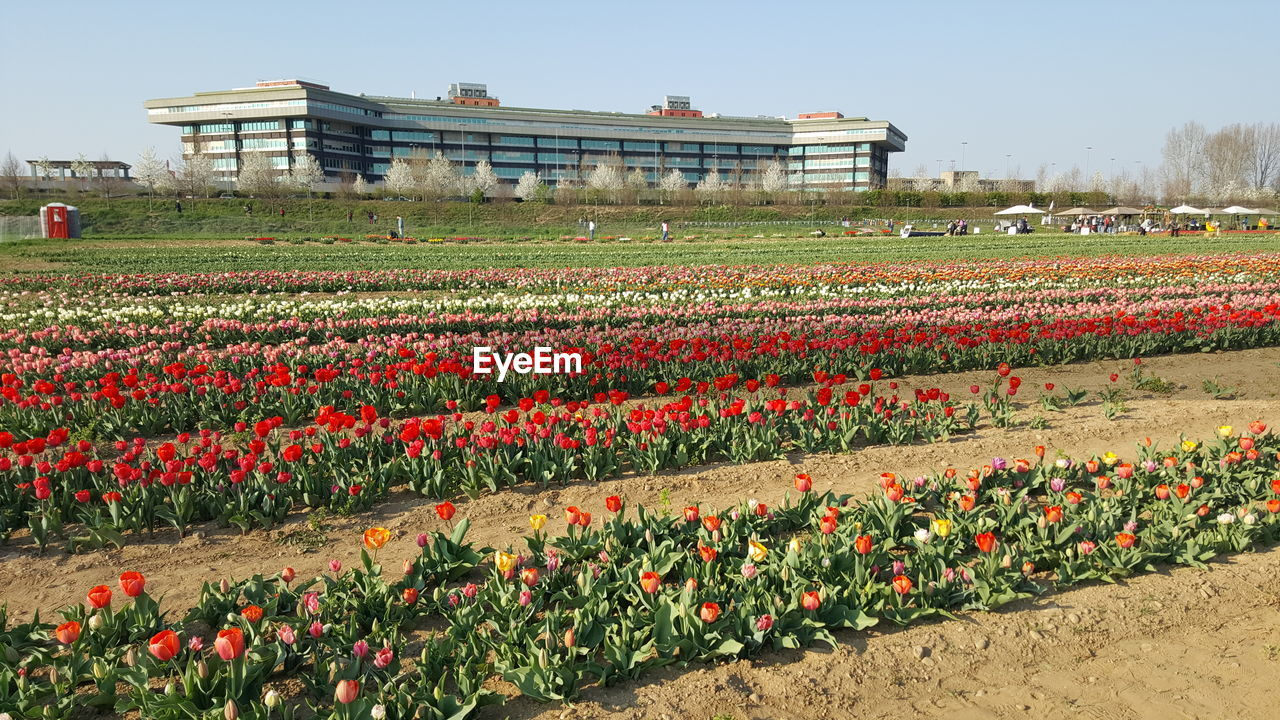 flower, flowering plant, plant, nature, beauty in nature, red, tulip, sky, growth, land, day, freshness, abundance, flowerbed, field, landscape, environment, large group of people, architecture, outdoors