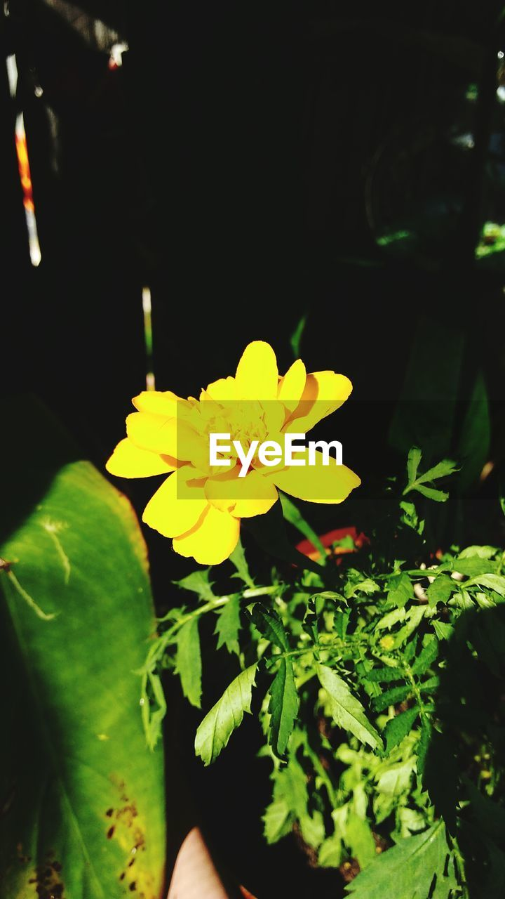 flower, freshness, yellow, growth, petal, beauty in nature, plant, leaf, nature, fragility, flower head, close-up, night, outdoors, no people