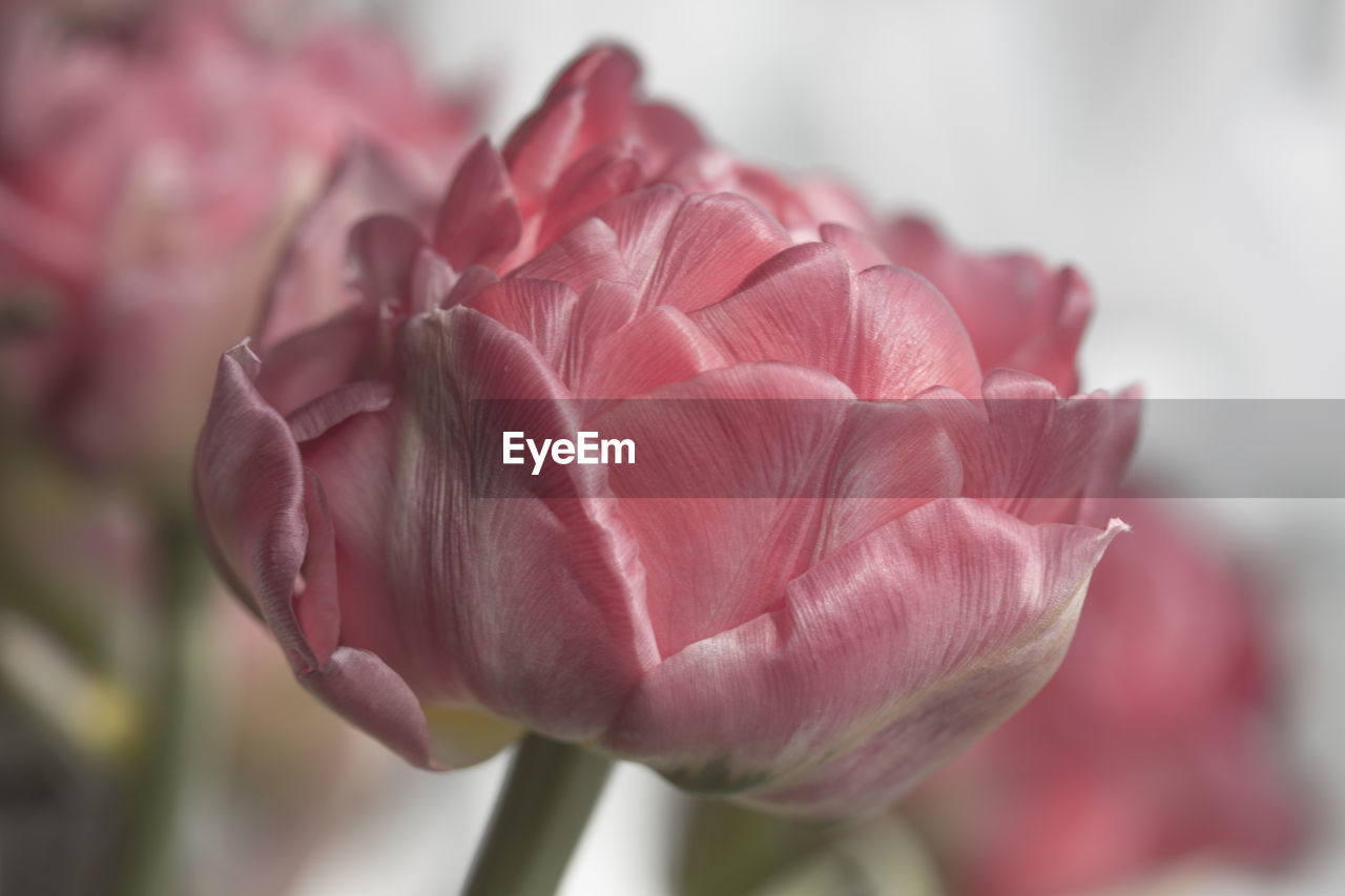 flower, flowering plant, beauty in nature, vulnerability, fragility, petal, close-up, plant, freshness, inflorescence, flower head, growth, pink color, focus on foreground, nature, no people, day, rose, selective focus, rose - flower, springtime, softness