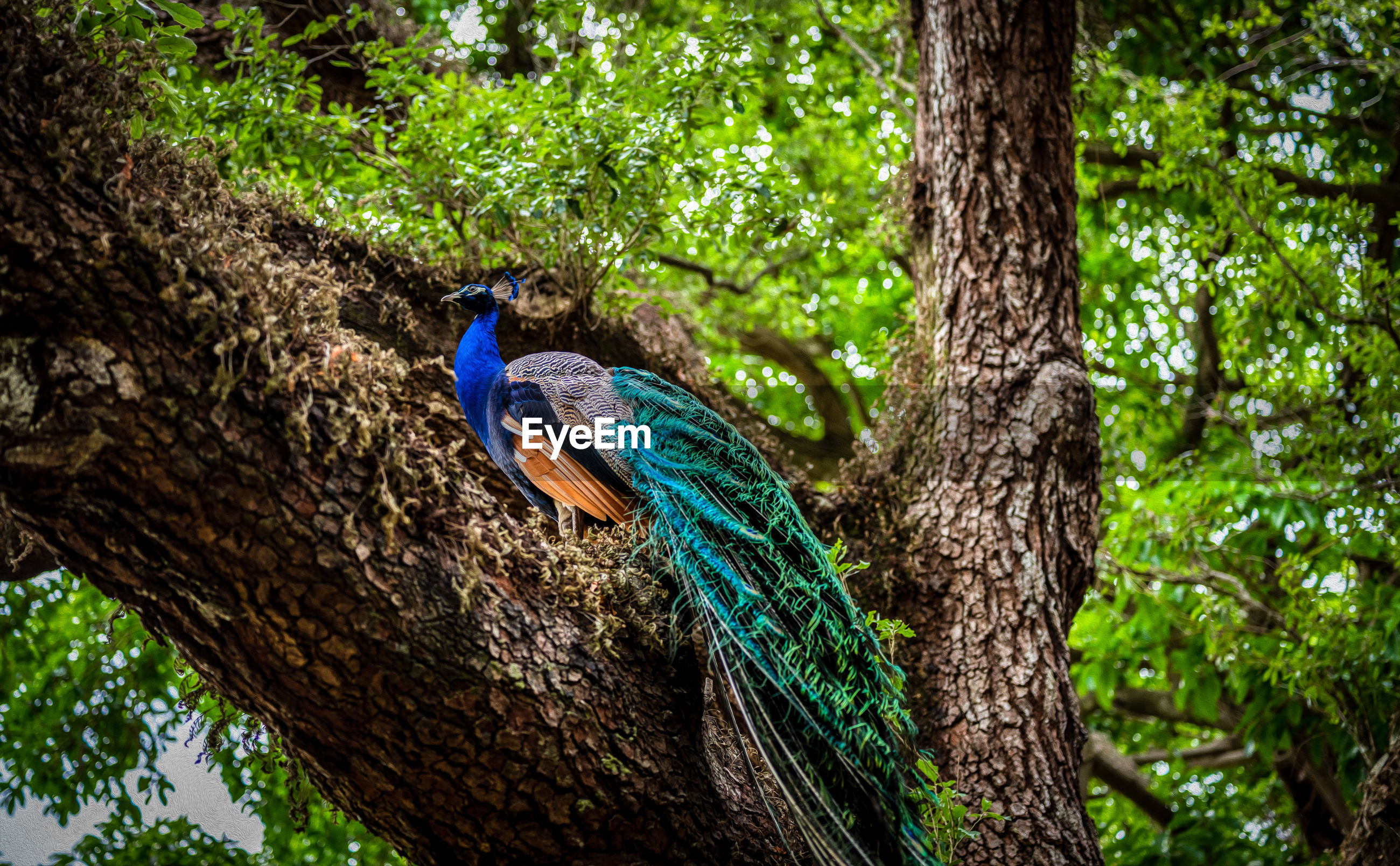 VIEW OF PEACOCK PERCHING ON TREE TRUNK