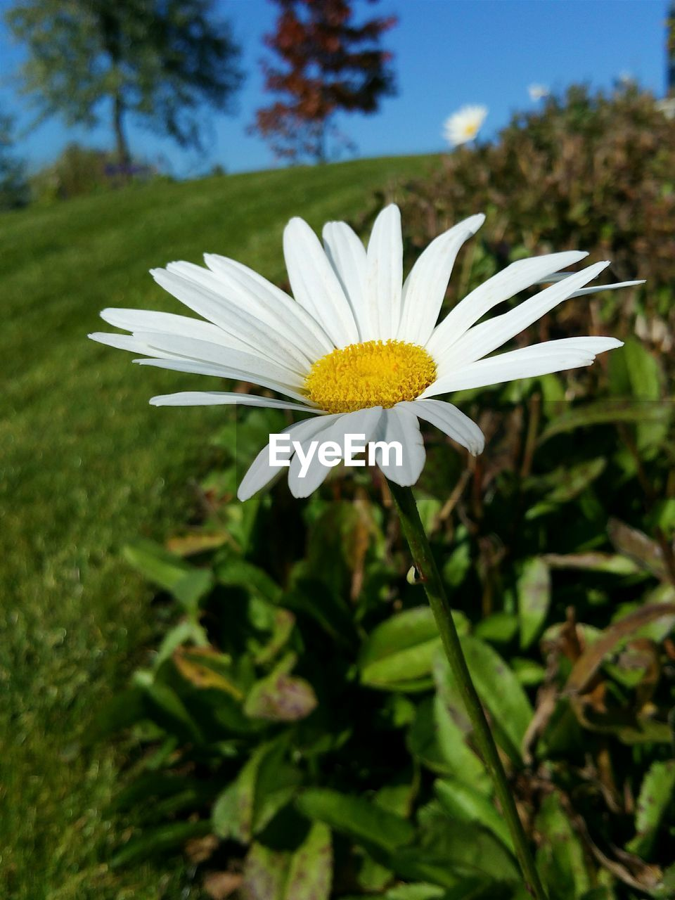 flower, petal, fragility, nature, growth, beauty in nature, flower head, white color, freshness, plant, focus on foreground, day, blooming, close-up, outdoors, no people, osteospermum