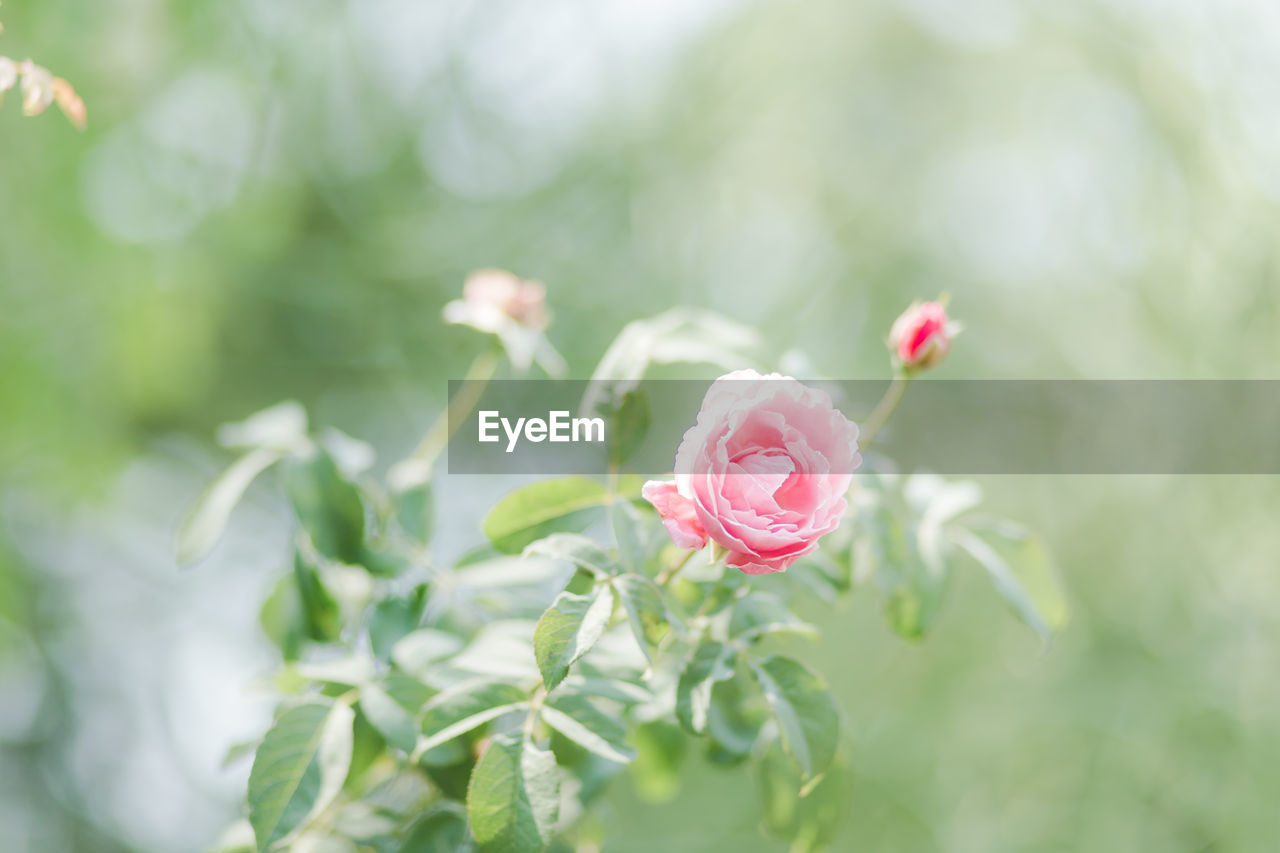 flower, plant, flowering plant, beauty in nature, pink color, petal, vulnerability, fragility, growth, rose, flower head, inflorescence, freshness, close-up, rose - flower, nature, focus on foreground, day, no people, leaf, outdoors