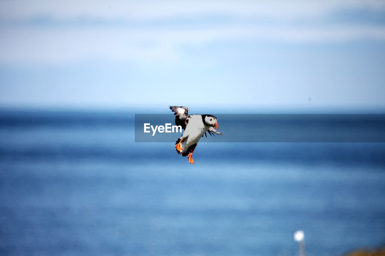 A landing attempt by a puffin, time to abort