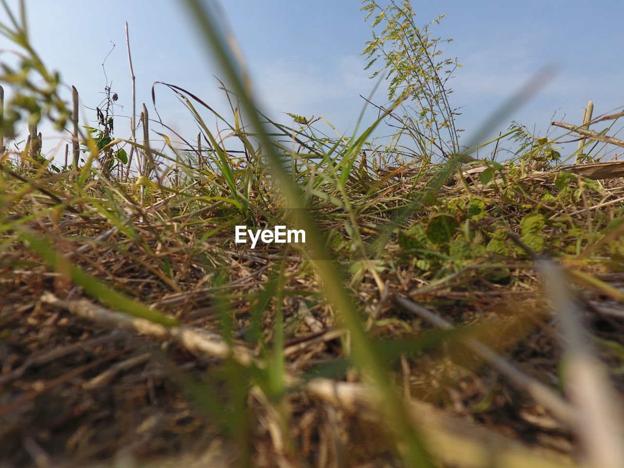selective focus, plant, growth, field, land, nature, surface level, grass, day, sky, close-up, no people, green color, beauty in nature, tranquility, outdoors, sunlight, focus on background, crop, low angle view, blade of grass