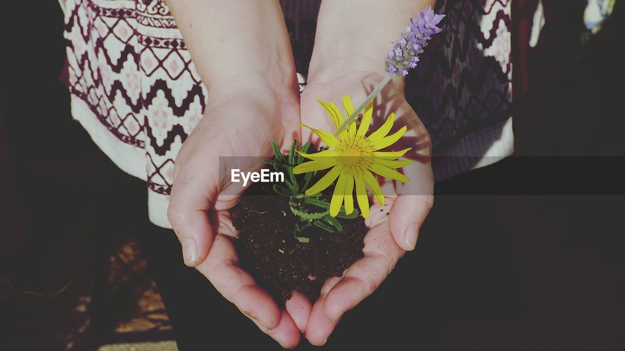 Midsection Of Woman Holding Yellow Daisy Plant