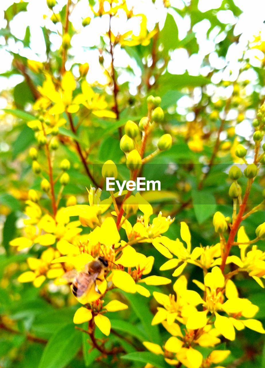 insect, flower, growth, animal themes, bee, one animal, nature, animals in the wild, fragility, petal, beauty in nature, plant, honey bee, freshness, day, yellow, no people, pollination, outdoors, animal wildlife, close-up, springtime, flower head, buzzing, blooming, tree