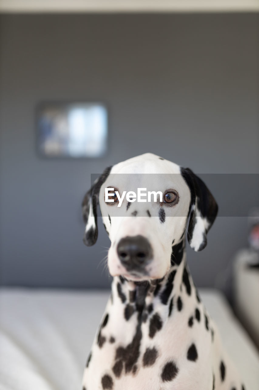 one animal, dalmatian dog, dog, canine, pets, domestic animals, mammal, domestic, portrait, animal, animal themes, focus on foreground, indoors, spotted, looking at camera, vertebrate, no people, close-up, white color, home interior, animal head