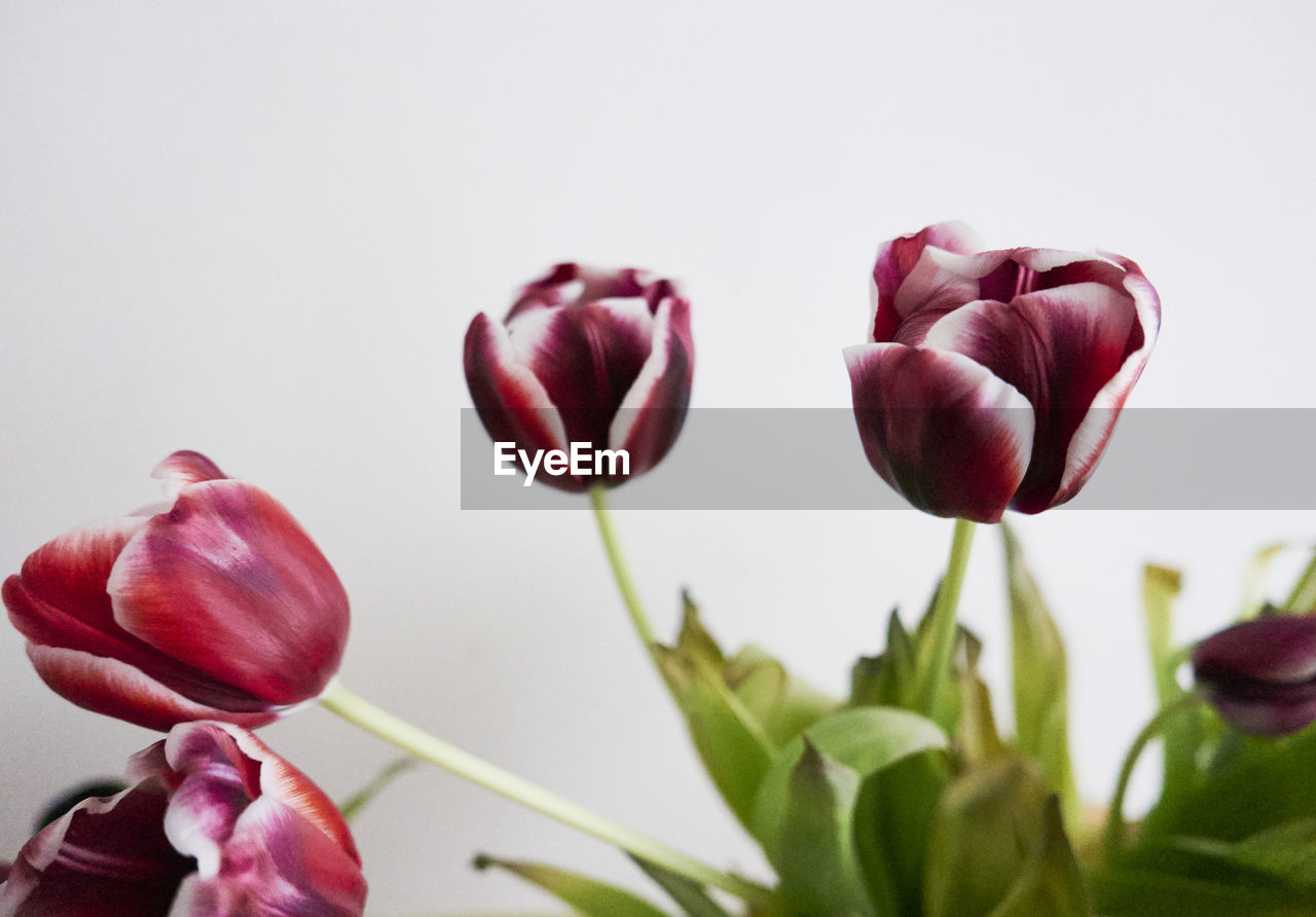 flower, nature, beauty in nature, petal, freshness, fragility, growth, tulip, plant, close-up, no people, flower head, leaf, studio shot, white background, blooming, day, outdoors
