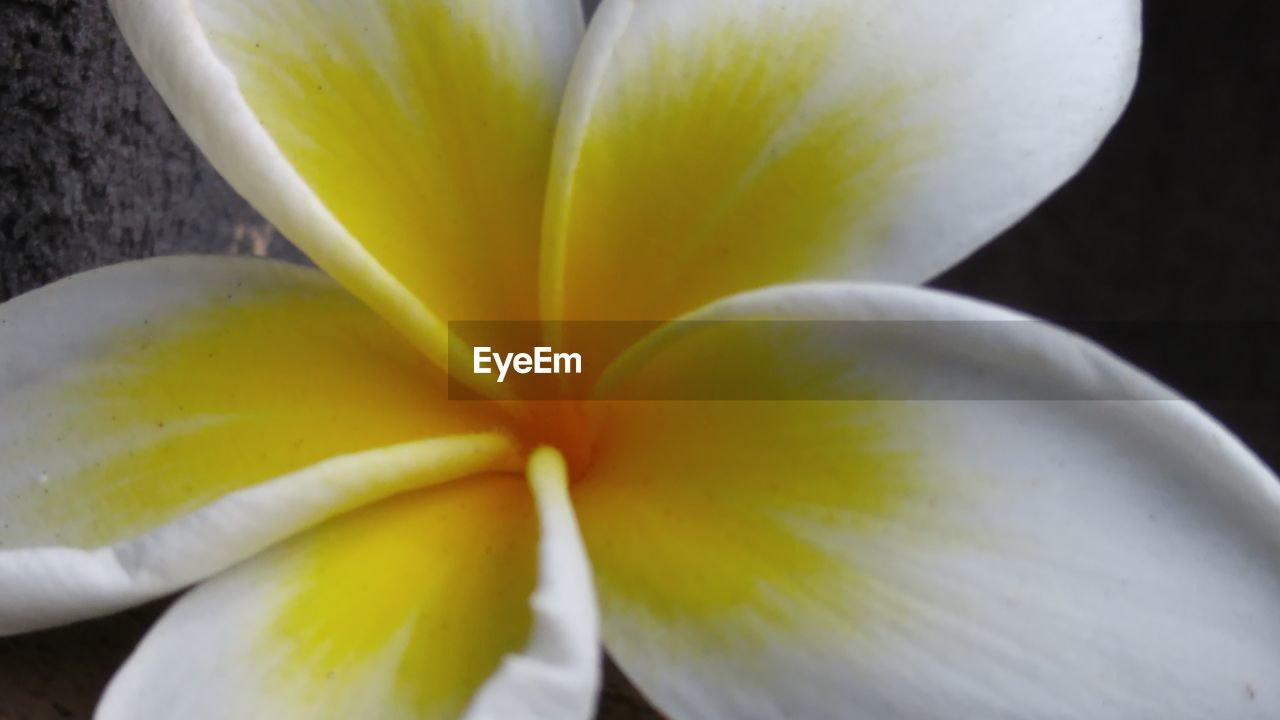 freshness, flower, close-up, flowering plant, plant, vulnerability, beauty in nature, yellow, flower head, petal, fragility, inflorescence, no people, growth, frangipani, white color, focus on foreground, nature, selective focus, pollen