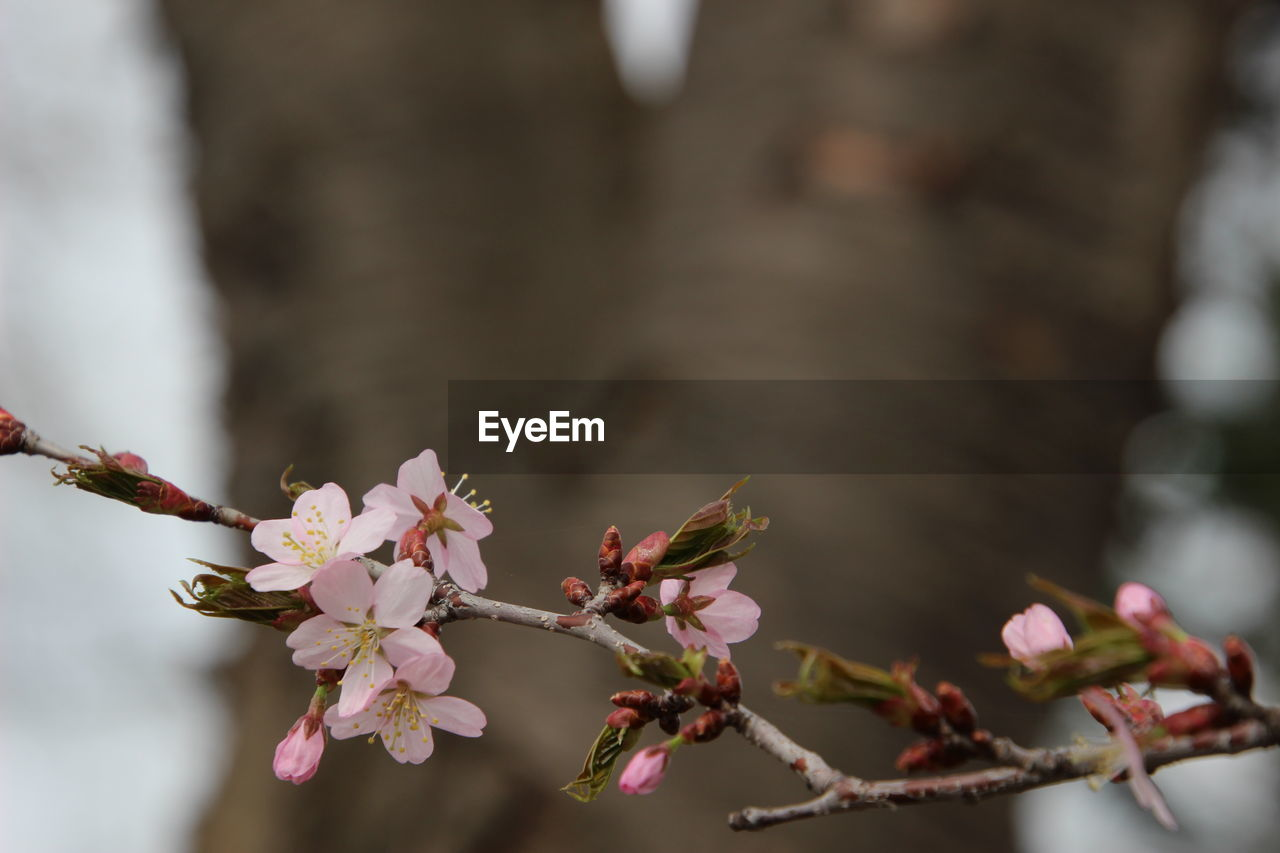 plant, growth, flower, flowering plant, fragility, close-up, vulnerability, beauty in nature, freshness, no people, selective focus, nature, branch, day, tree, focus on foreground, pink color, outdoors, twig, petal, springtime, flower head, cherry blossom, cherry tree