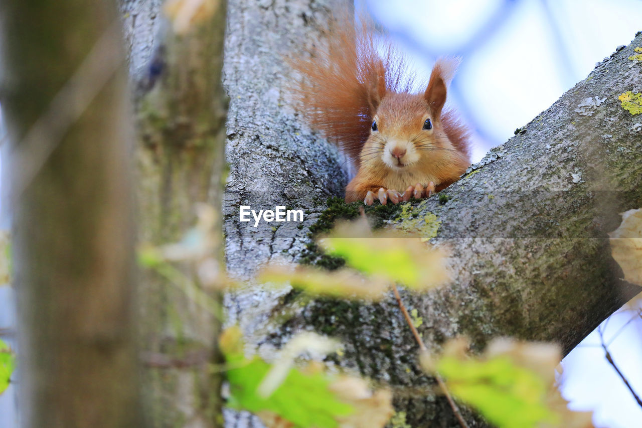 rodent, animal wildlife, animal themes, animal, mammal, one animal, selective focus, animals in the wild, tree, trunk, no people, tree trunk, squirrel, day, nature, plant, close-up, vertebrate, outdoors, wood - material, whisker