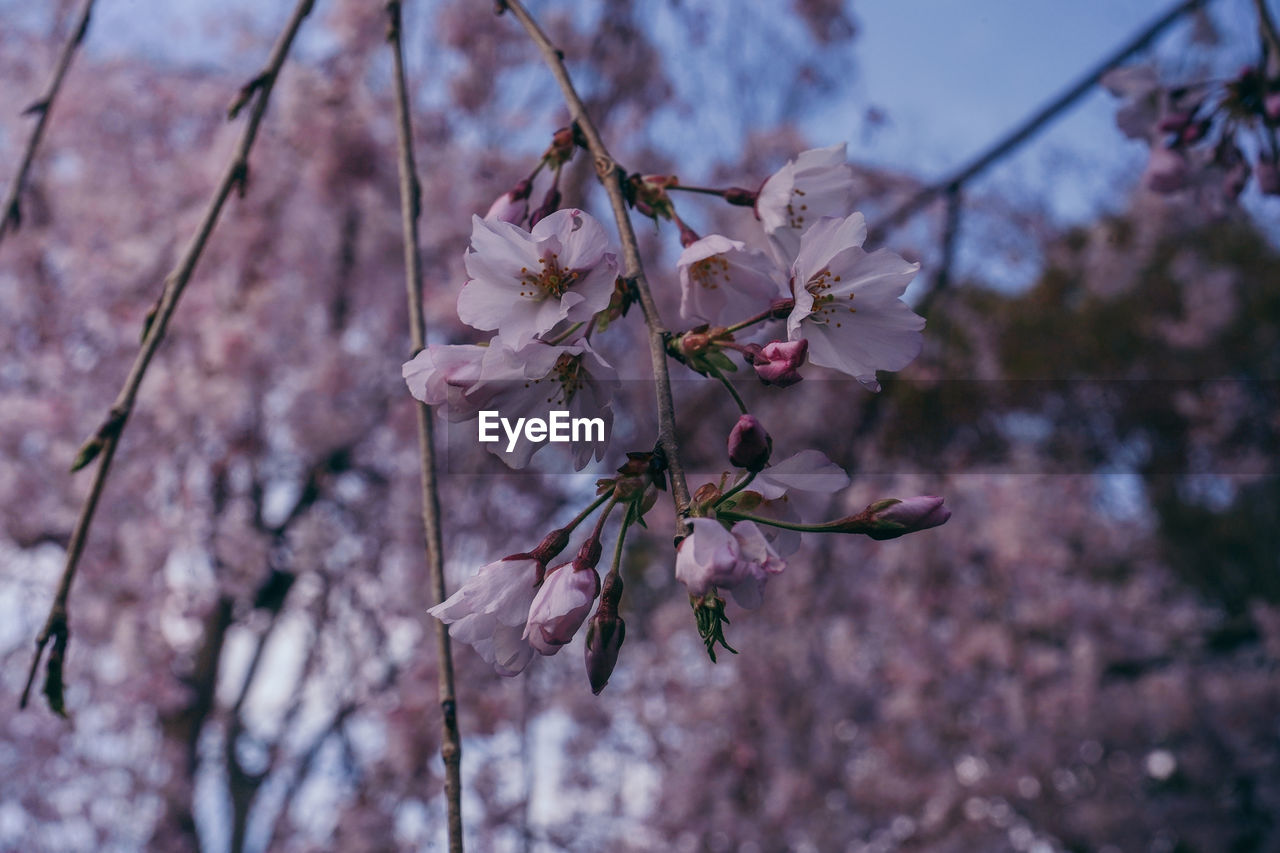 flowering plant, flower, fragility, plant, vulnerability, freshness, growth, beauty in nature, blossom, close-up, springtime, pink color, tree, petal, no people, focus on foreground, cherry blossom, branch, nature, twig, cherry tree, outdoors, flower head, pollen, spring