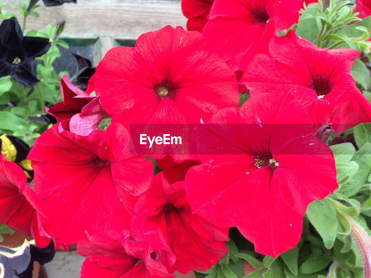 flower, petal, flower head, fragility, growth, nature, beauty in nature, blooming, plant, freshness, outdoors, day, petunia, no people, red, hibiscus, close-up, periwinkle