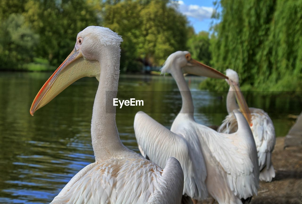 swan, animal themes, bird, animals in the wild, white color, animal wildlife, beak, lake, water, water bird, nature, no people, focus on foreground, day, pelican, cygnet, outdoors, beauty in nature, close-up, flamingo