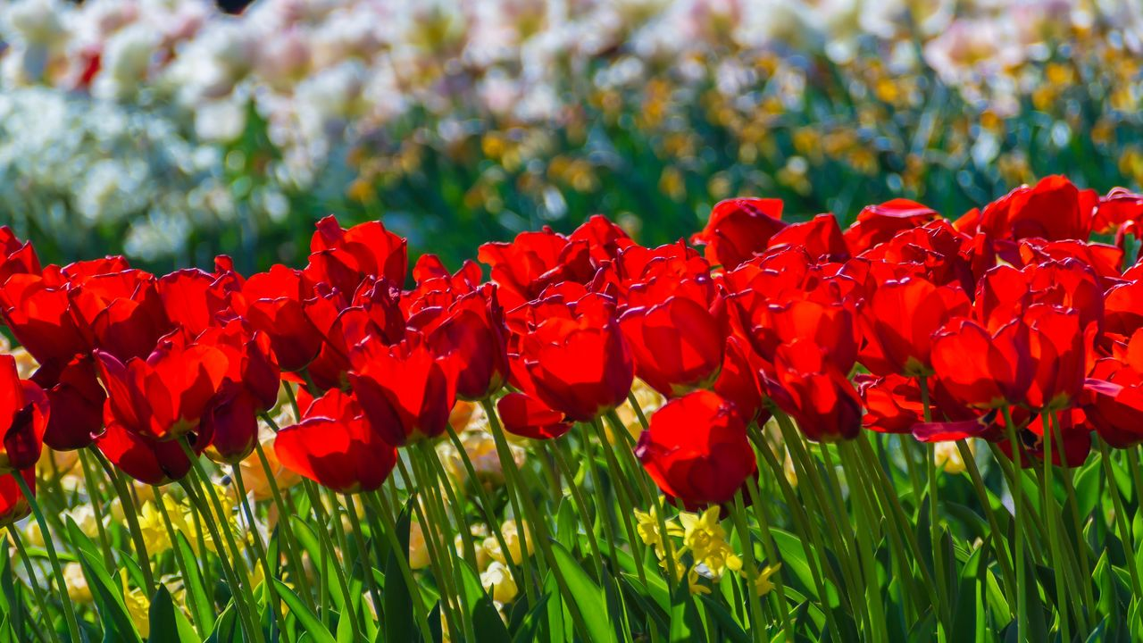 flowering plant, flower, plant, red, beauty in nature, growth, fragility, vulnerability, freshness, petal, flower head, field, close-up, inflorescence, land, nature, day, no people, green color, focus on foreground, outdoors, tulip, springtime, flowerbed