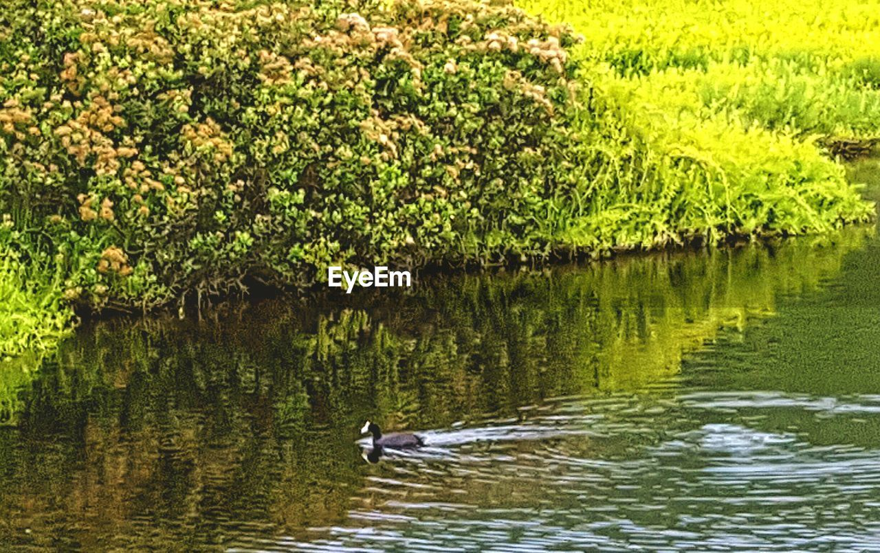 animals in the wild, one animal, animal themes, nature, water, lake, bird, reflection, waterfront, animal wildlife, day, no people, outdoors, tree, beauty in nature, swimming, swan