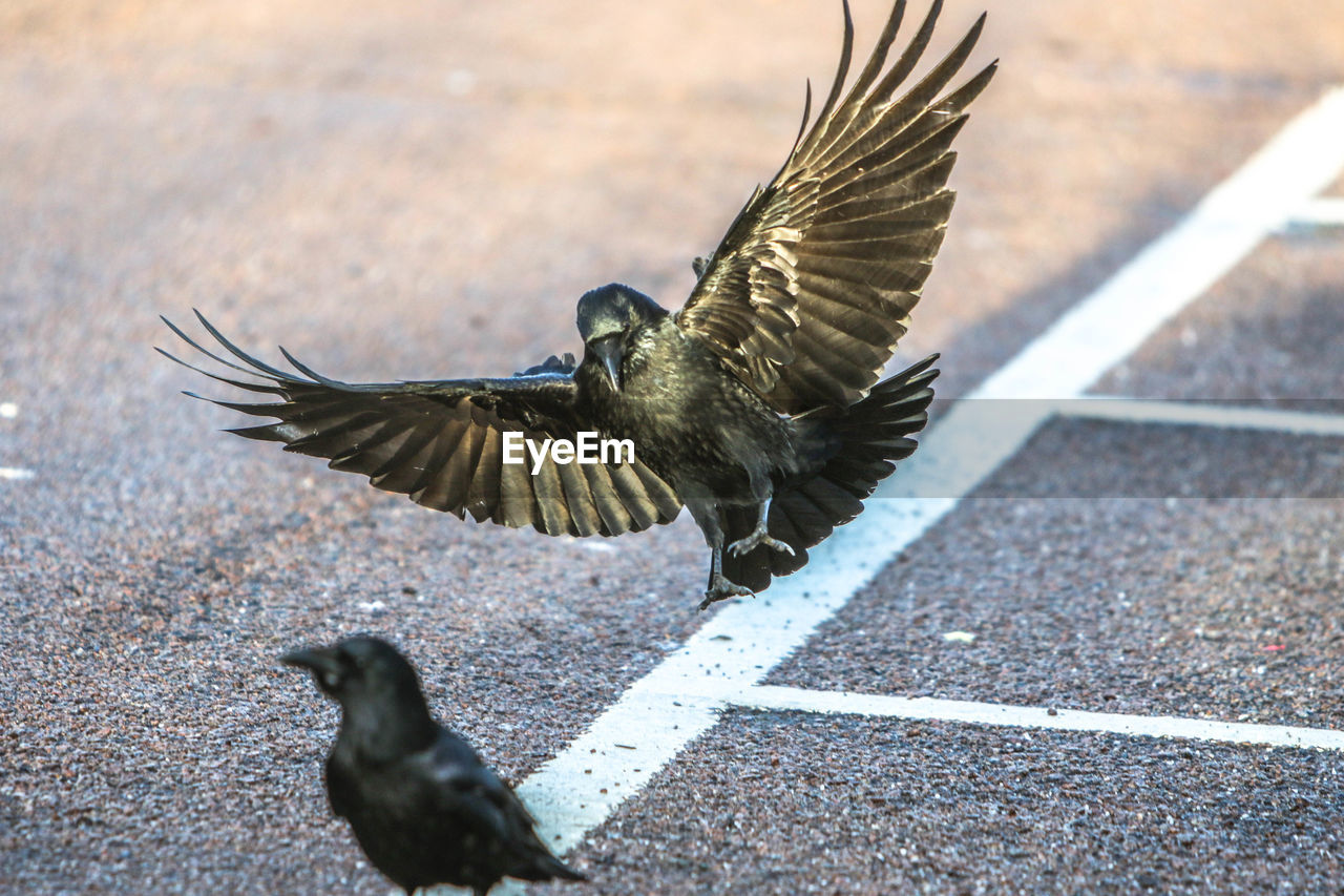 animal themes, animal, animal wildlife, animals in the wild, bird, spread wings, flying, vertebrate, day, no people, one animal, nature, motion, selective focus, sunlight, focus on foreground, road, outdoors, mid-air, flapping