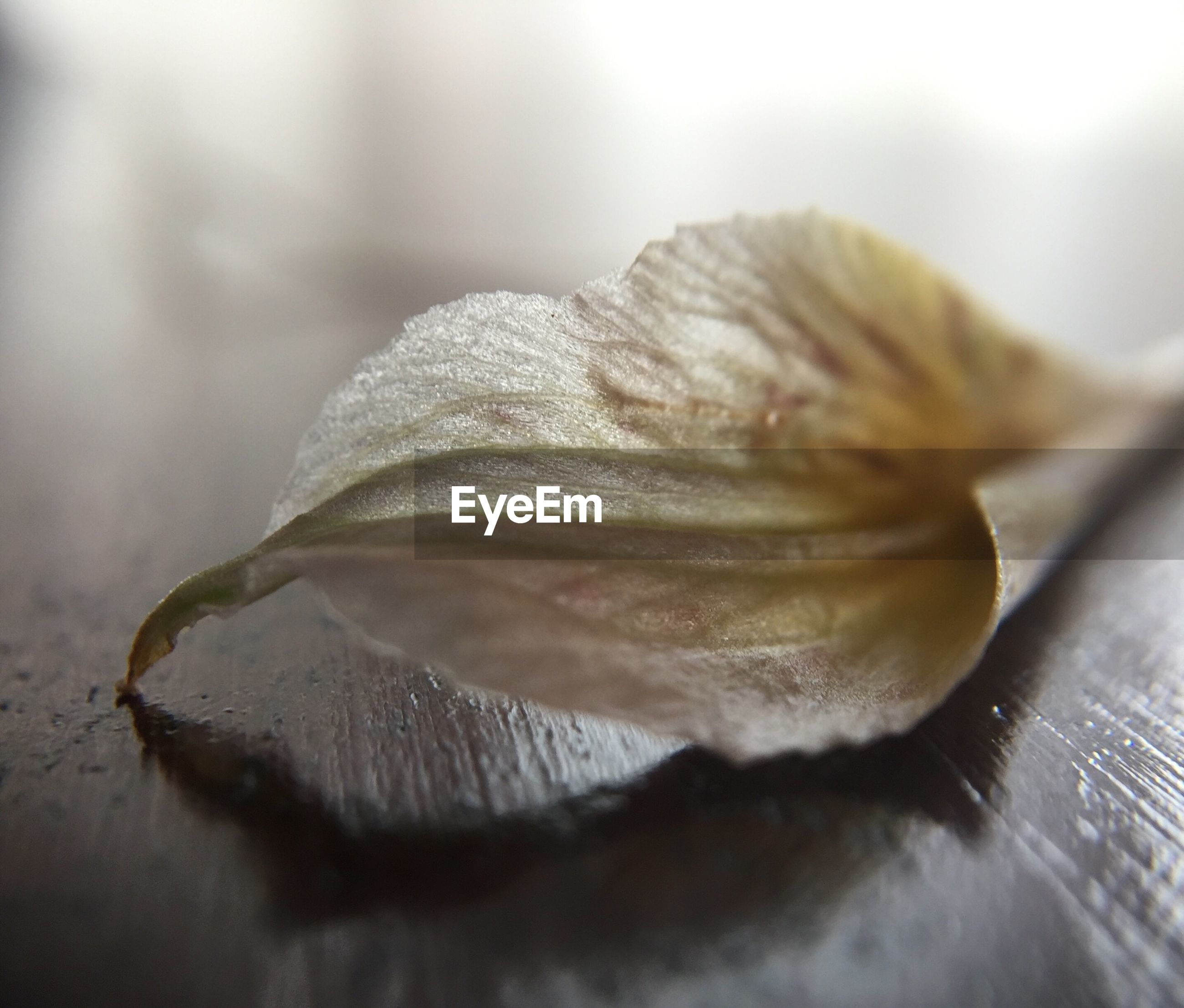 Close-up of fallen petal on wood