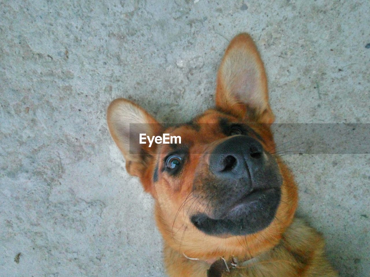 one animal, mammal, canine, pets, dog, animal themes, domestic, animal, domestic animals, high angle view, portrait, no people, looking at camera, vertebrate, animal body part, animal head, brown, close-up, day, looking, small, animal eye