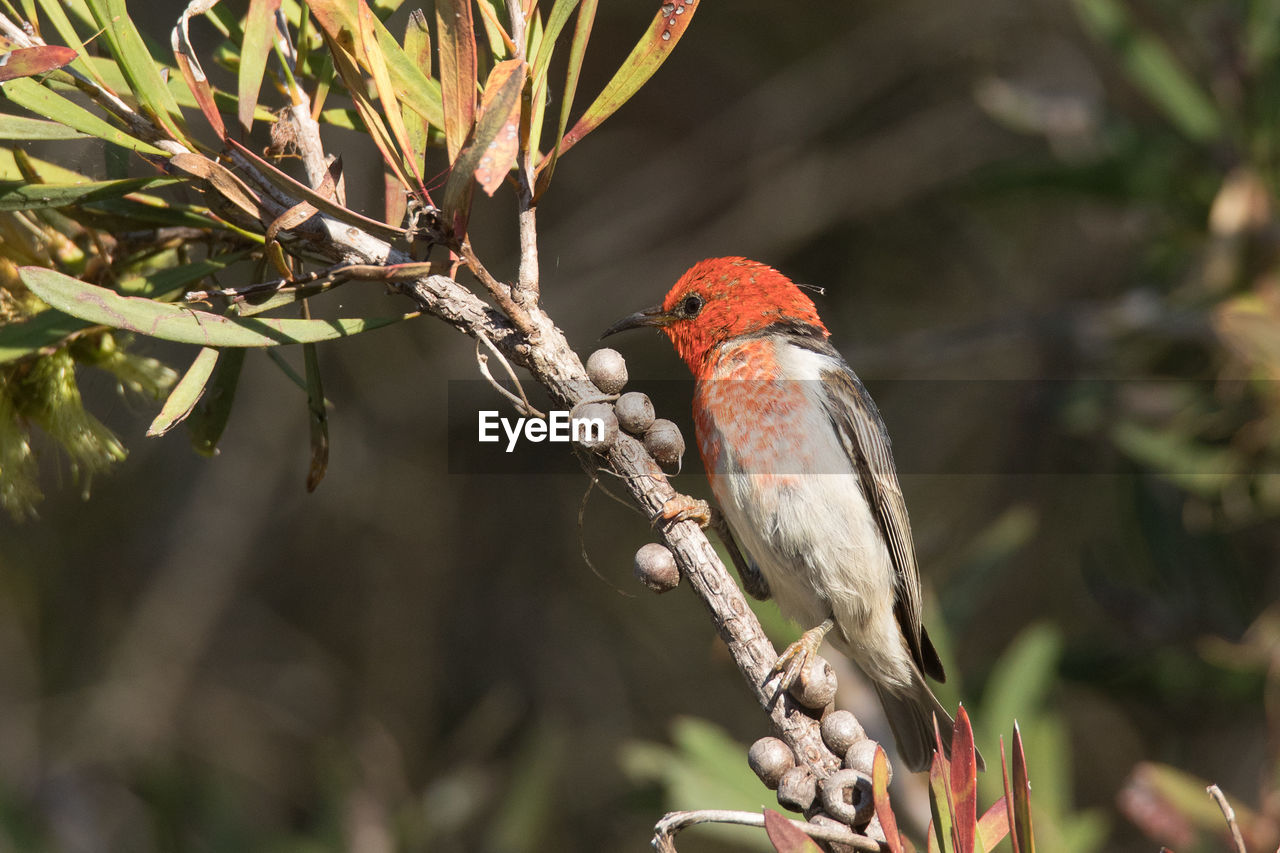 animal themes, animal, animals in the wild, vertebrate, animal wildlife, bird, one animal, perching, tree, branch, focus on foreground, plant, day, nature, no people, outdoors, close-up, red, selective focus, beauty in nature