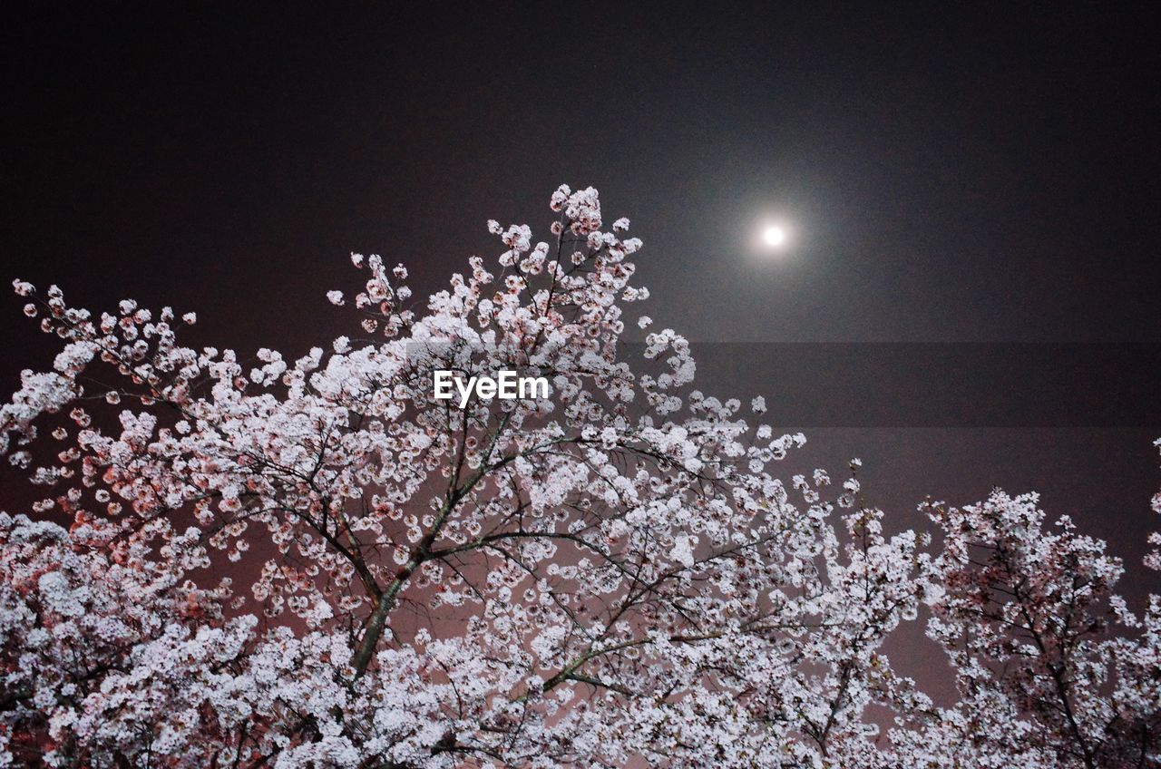 tree, flower, beauty in nature, low angle view, nature, blossom, growth, branch, moon, fragility, springtime, night, sky, no people, freshness, outdoors, scenics, clear sky, close-up