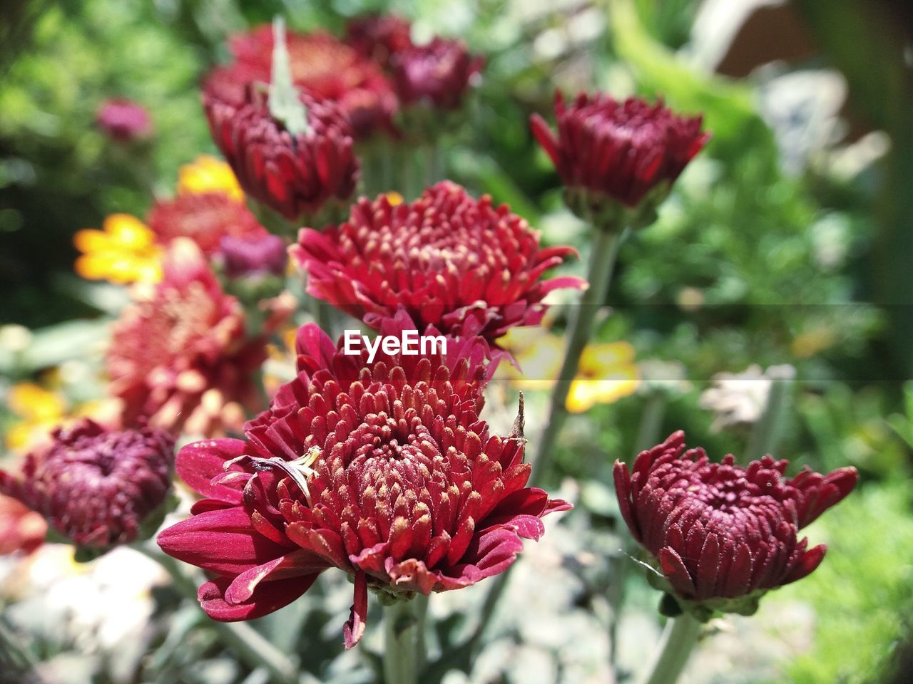 flowering plant, flower, beauty in nature, freshness, plant, vulnerability, fragility, growth, close-up, petal, red, nature, no people, focus on foreground, day, inflorescence, flower head, outdoors, selective focus, sunlight, maroon