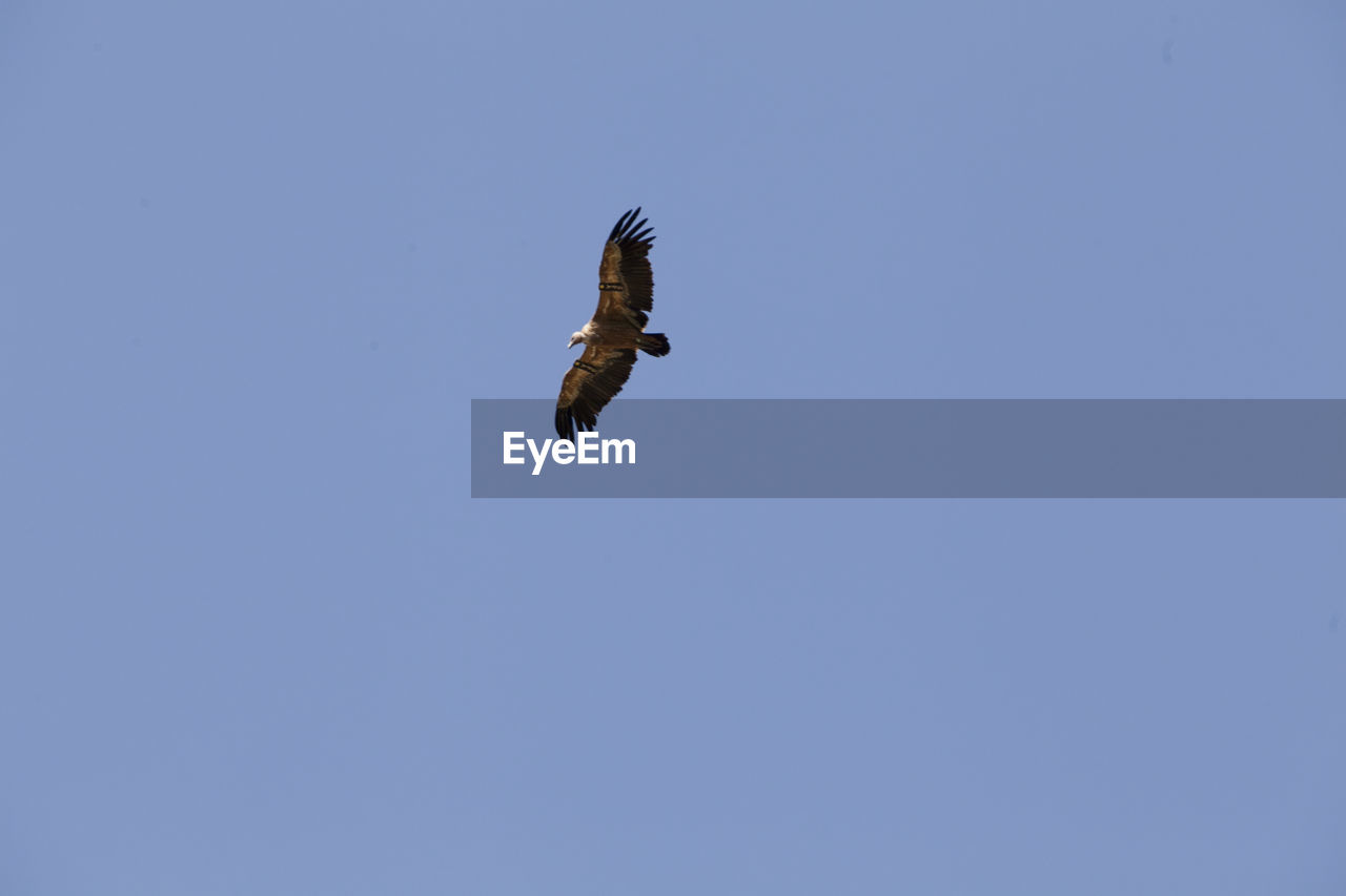 animals in the wild, animal wildlife, bird, flying, animal, one animal, vertebrate, animal themes, spread wings, sky, low angle view, clear sky, copy space, blue, mid-air, no people, bird of prey, motion, day, nature, outdoors, eagle