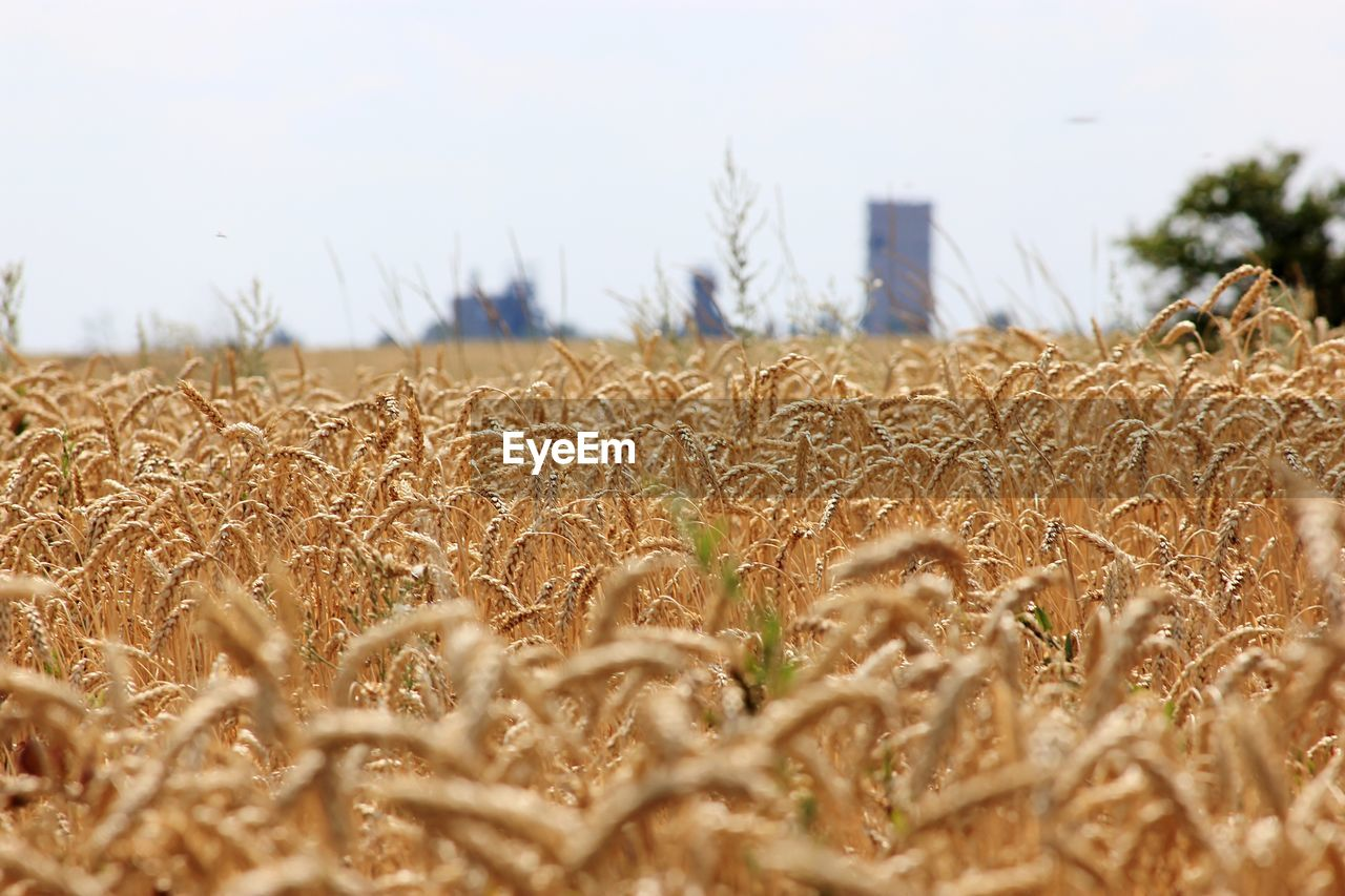 field, land, growth, plant, agriculture, crop, sky, selective focus, landscape, cereal plant, wheat, nature, rural scene, day, farm, no people, environment, close-up, tranquility, beauty in nature, outdoors, surface level, stalk, plantation